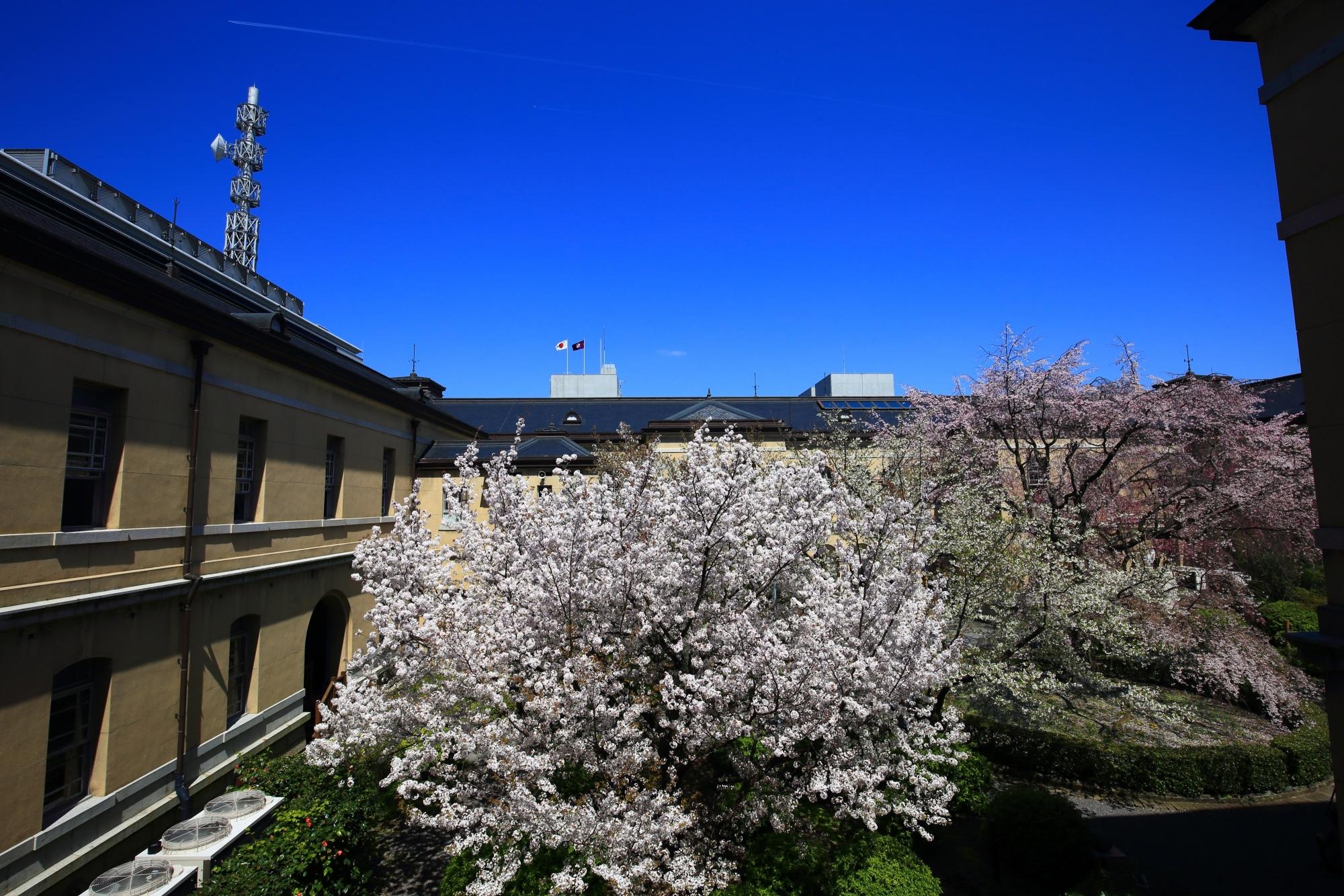 太陽をいっぱいに浴びて輝く桜