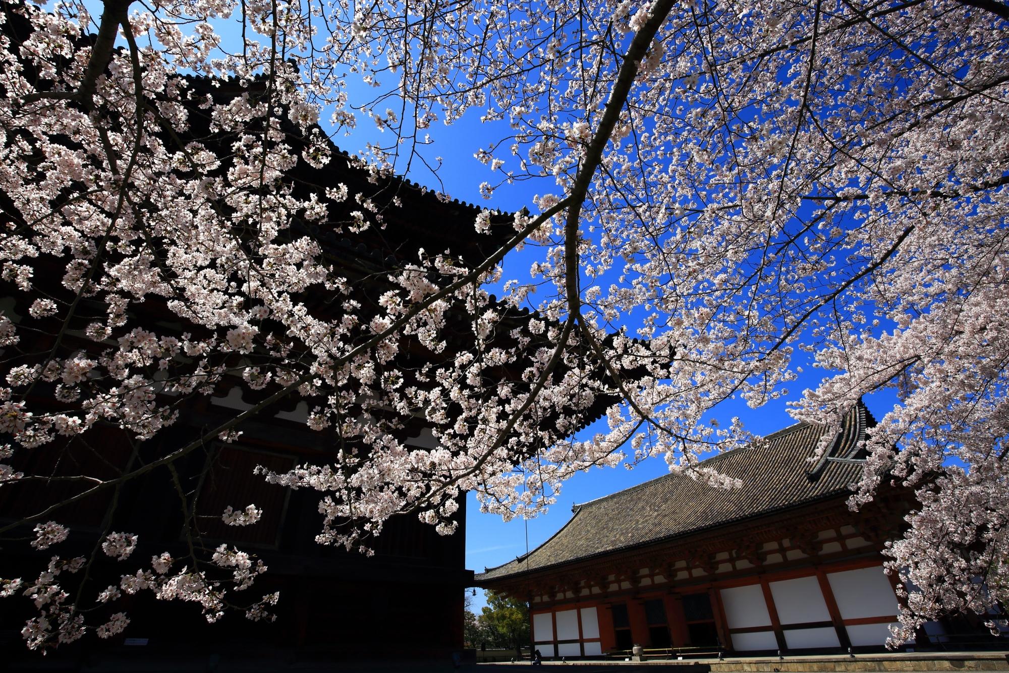 東寺の講堂と青空を染める見事な桜