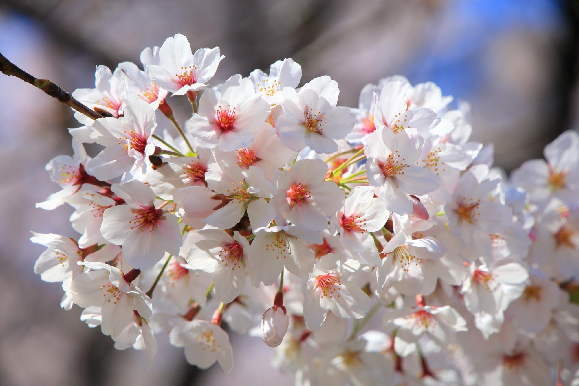 超満開の東寺の桜