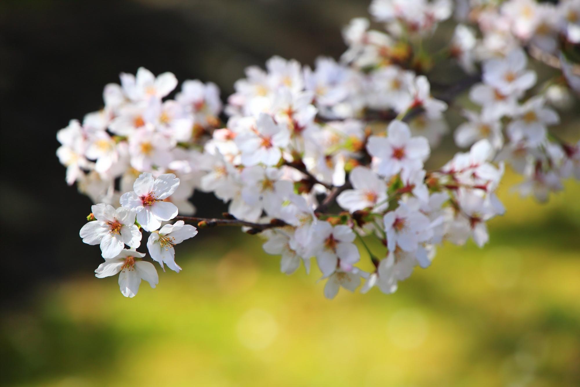 境内に溢れる華やかな桜