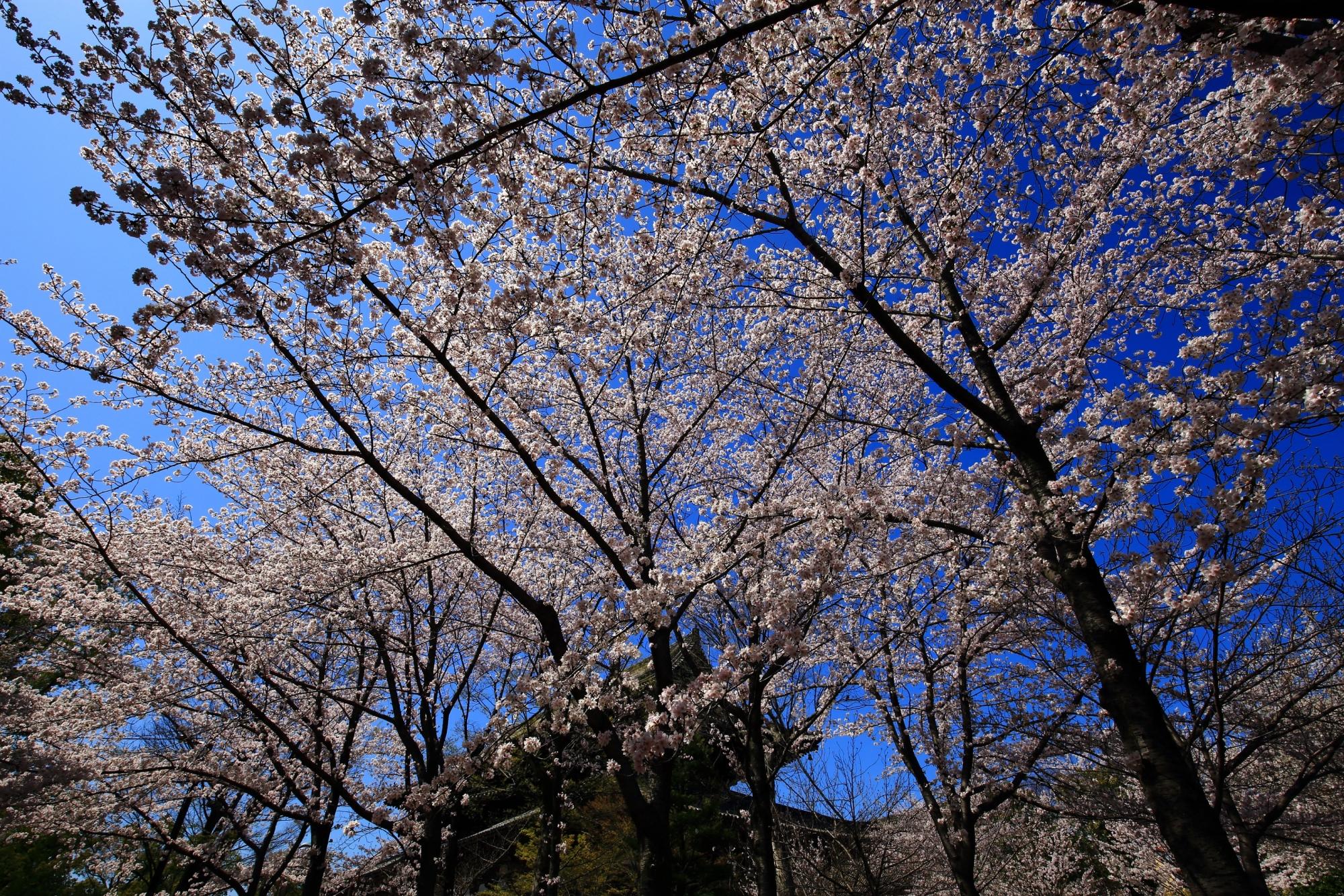 東寺の金堂と青空に映える華やかな桜