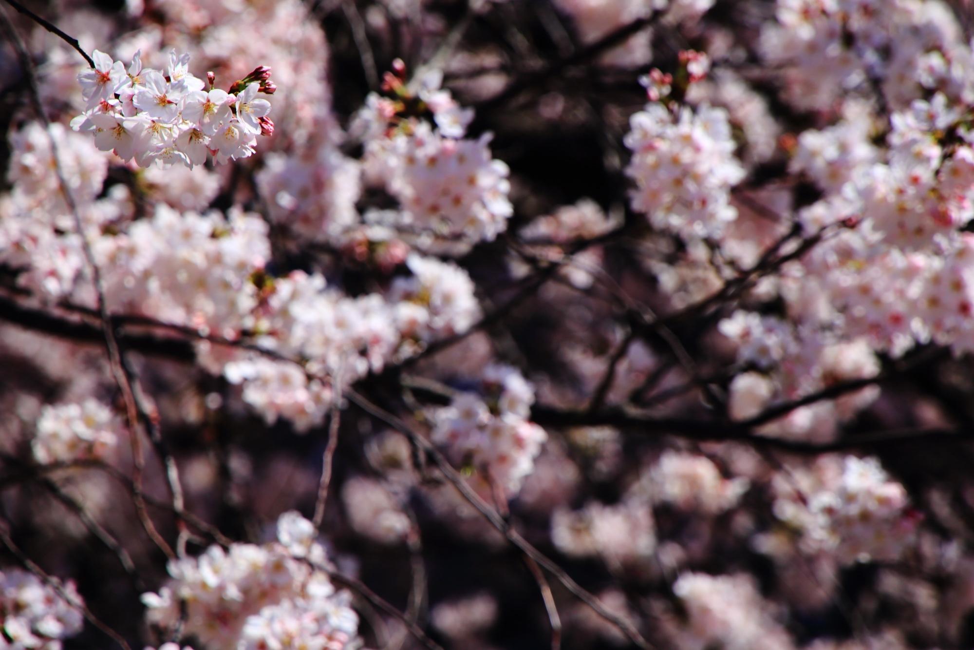 可愛い淡いピンクの桜の花