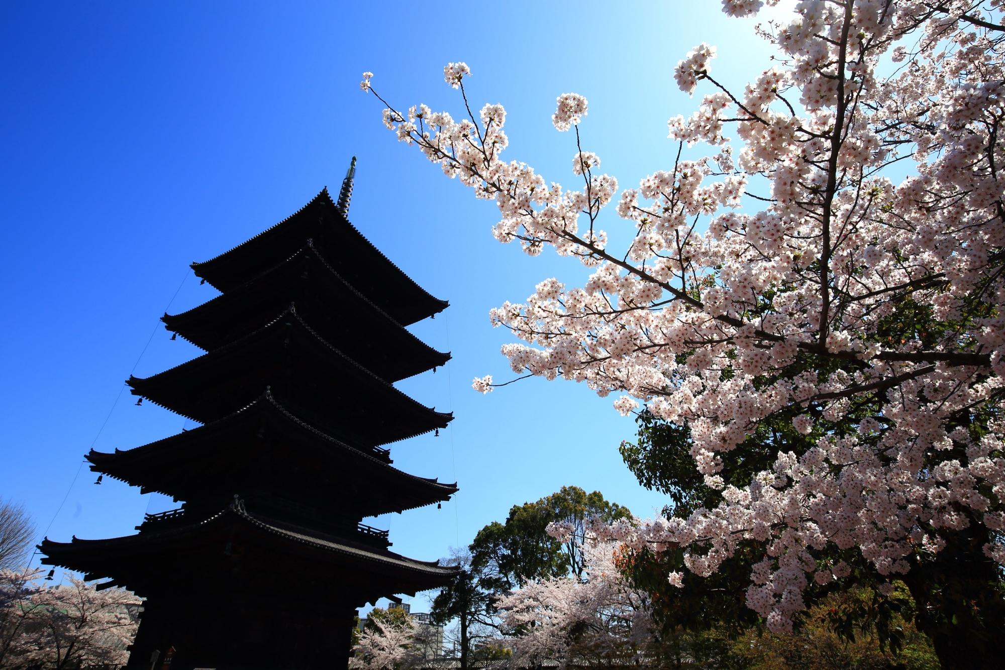 五重塔を彩る太陽に照らされた煌びやかな桜