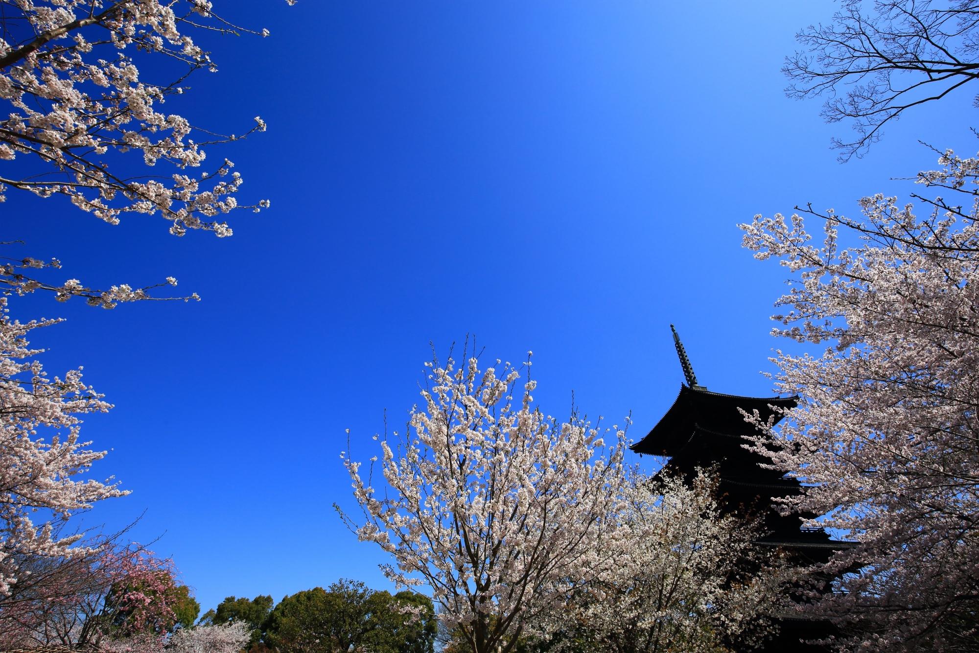 青空がやっぱり良く合う見上げる桜