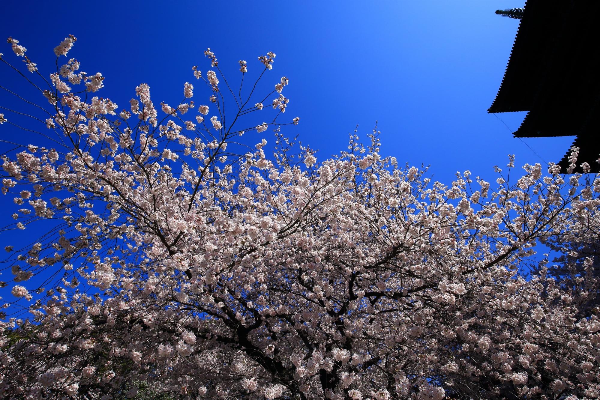 高画質 写真 東寺 桜