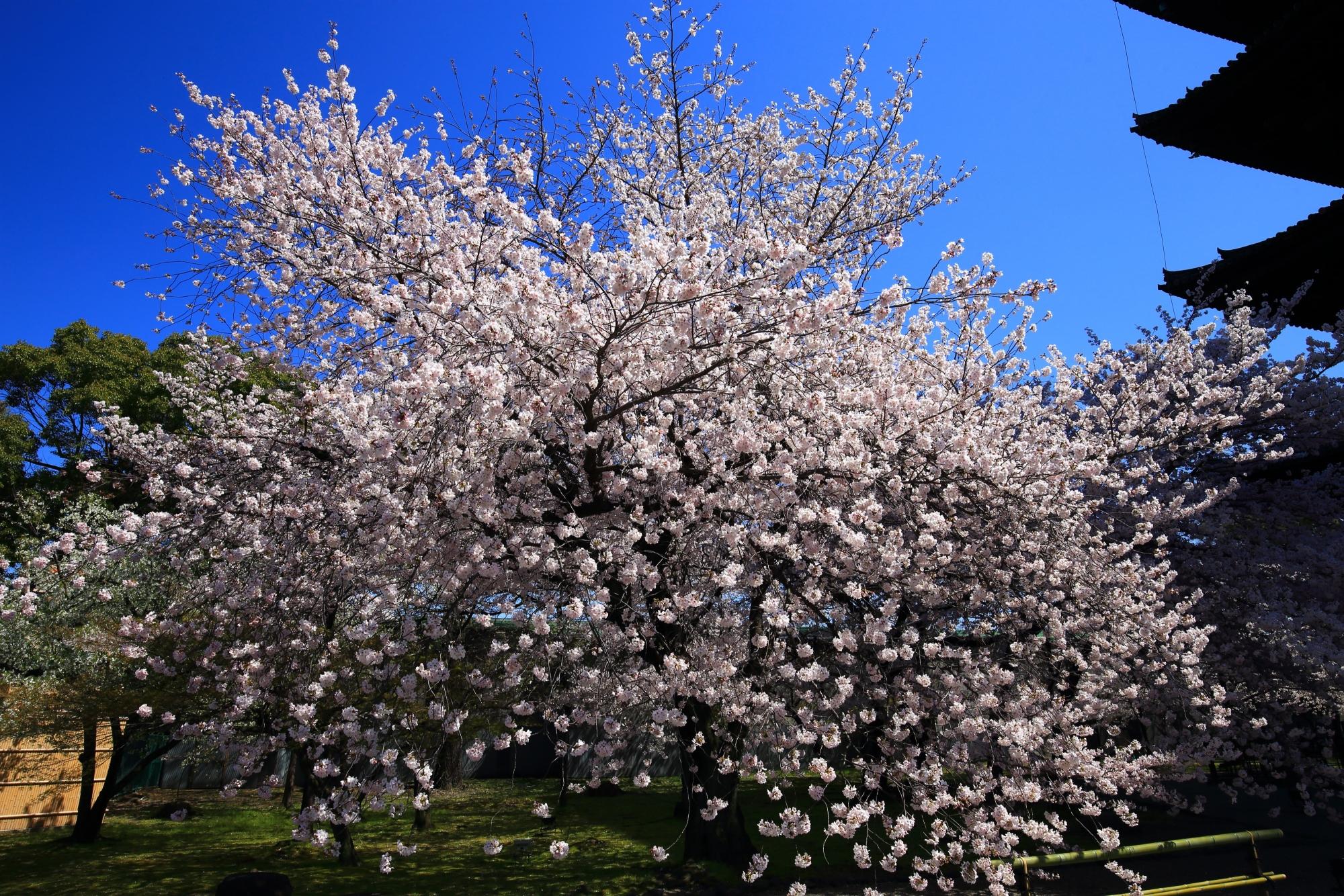 弾け飛びそうな花をいっぱいにつけた桜