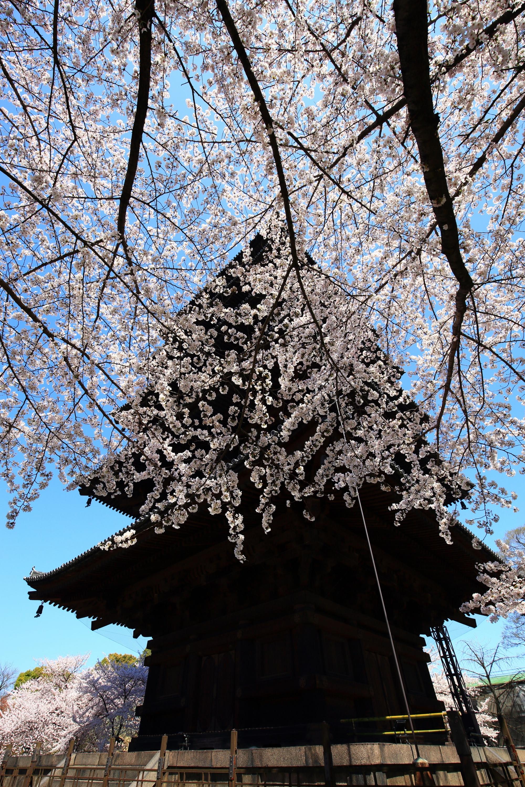 五重塔を華やかな春色にそめる見事な桜
