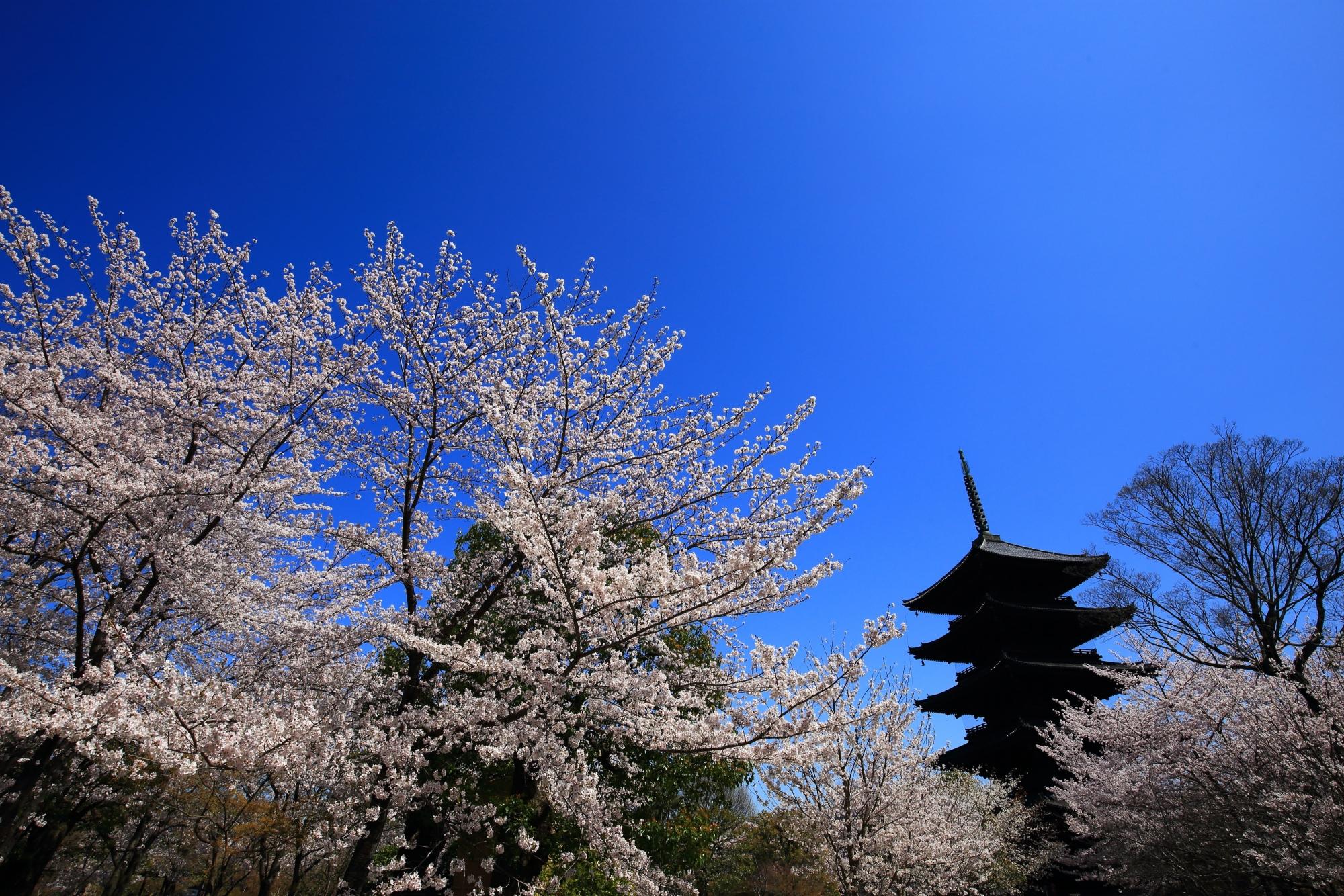 爽快な青空の下で煌く桜と五重塔