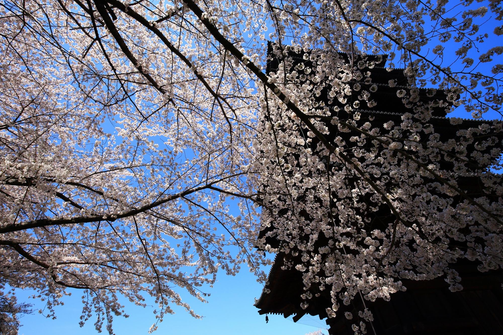 五重塔と青空を覆う豪快なソメイヨシノ