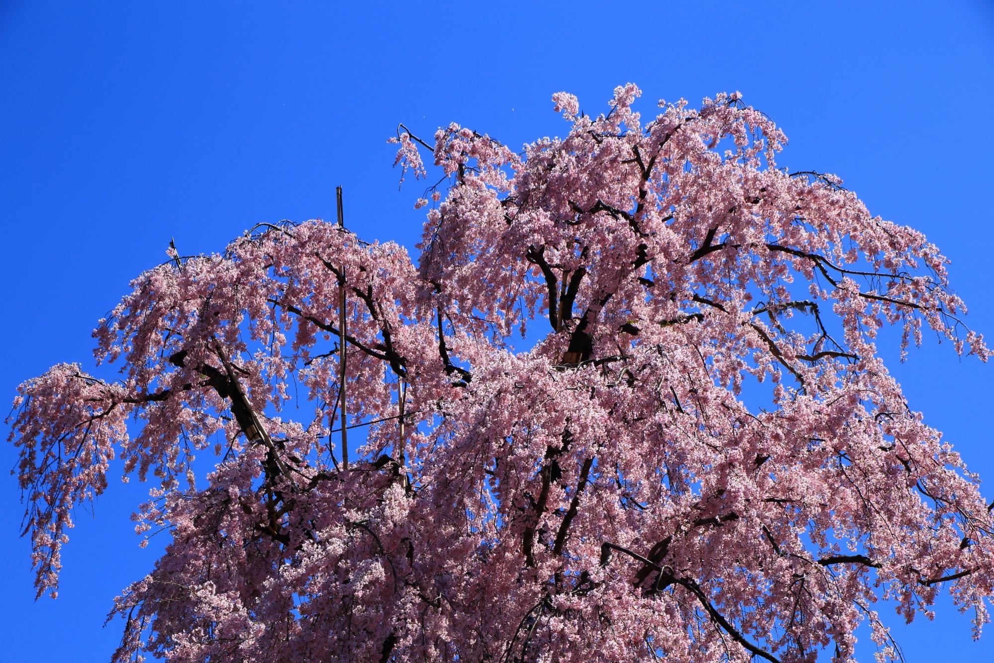 青空を彩る妖艶な不二桜