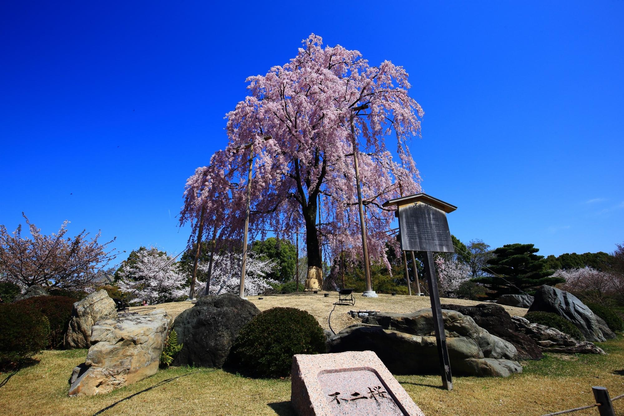 豪華に咲き誇る不二桜
