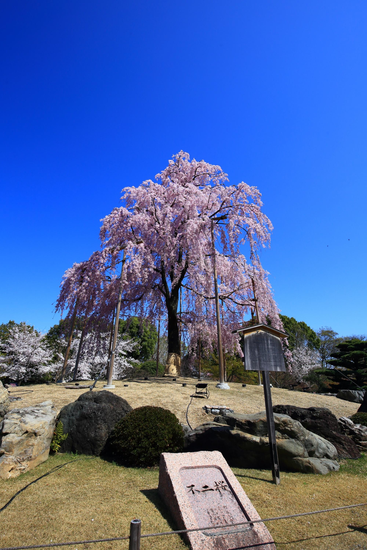 間違いなく一生もんの東寺の桜