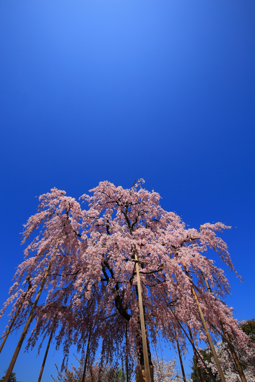 最高の青空に映える大きなピンクのしだれ桜