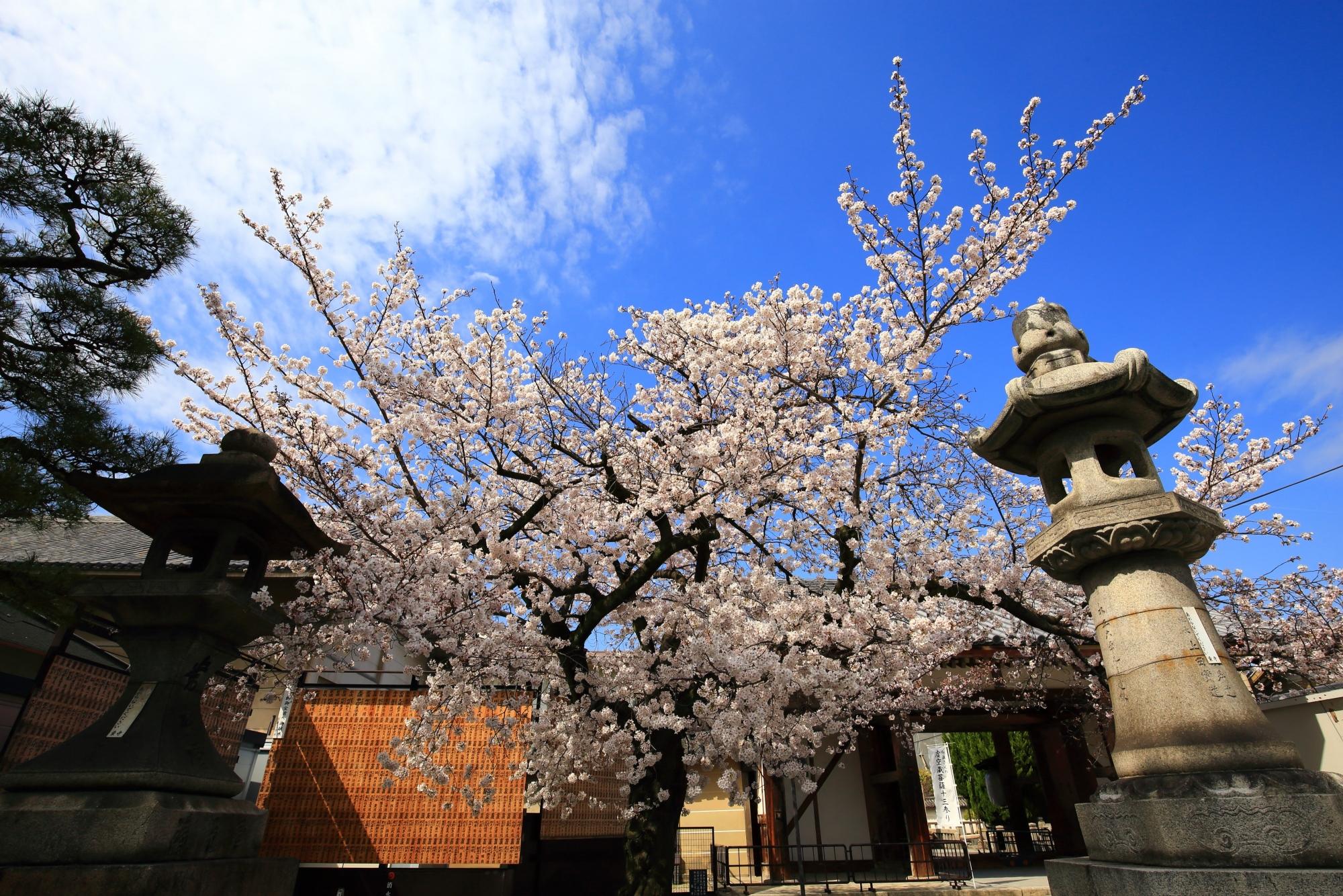 東寺の北門付近の豪快に咲く桜