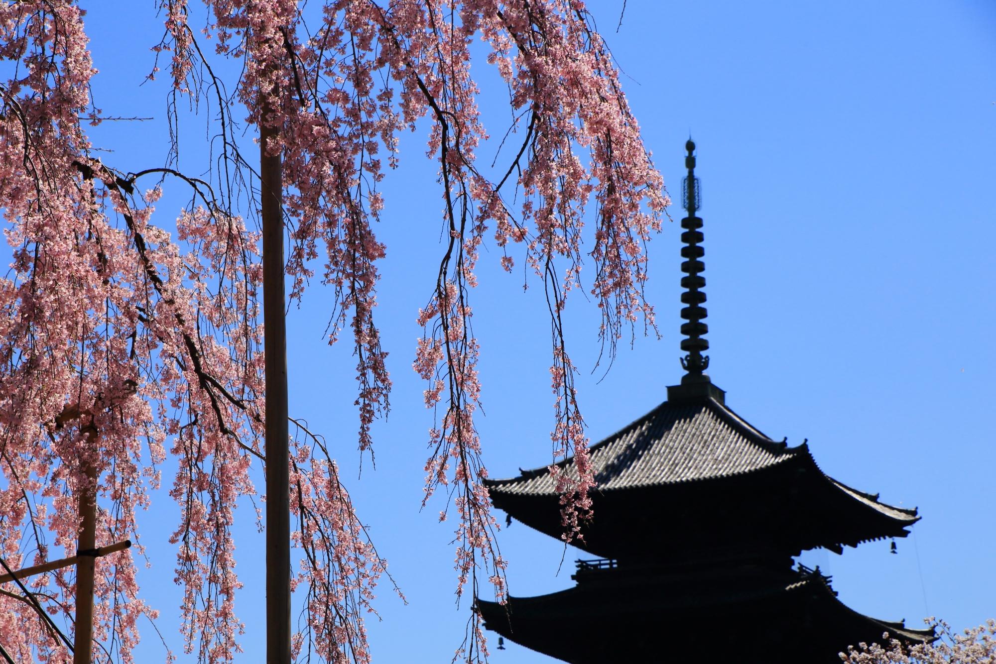 五重塔に降り注ぐ不二桜