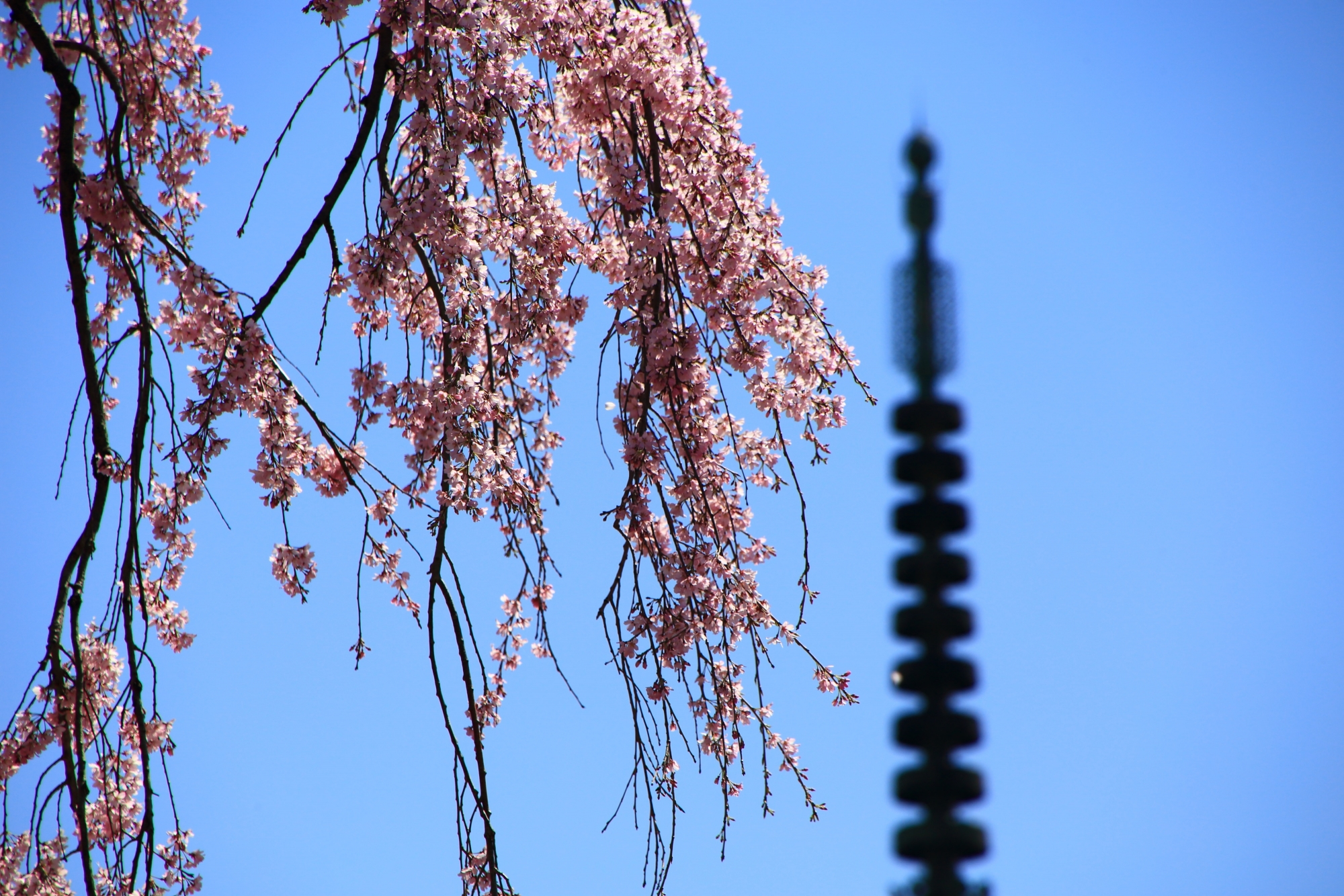 煌びやかになびくピンクの花
