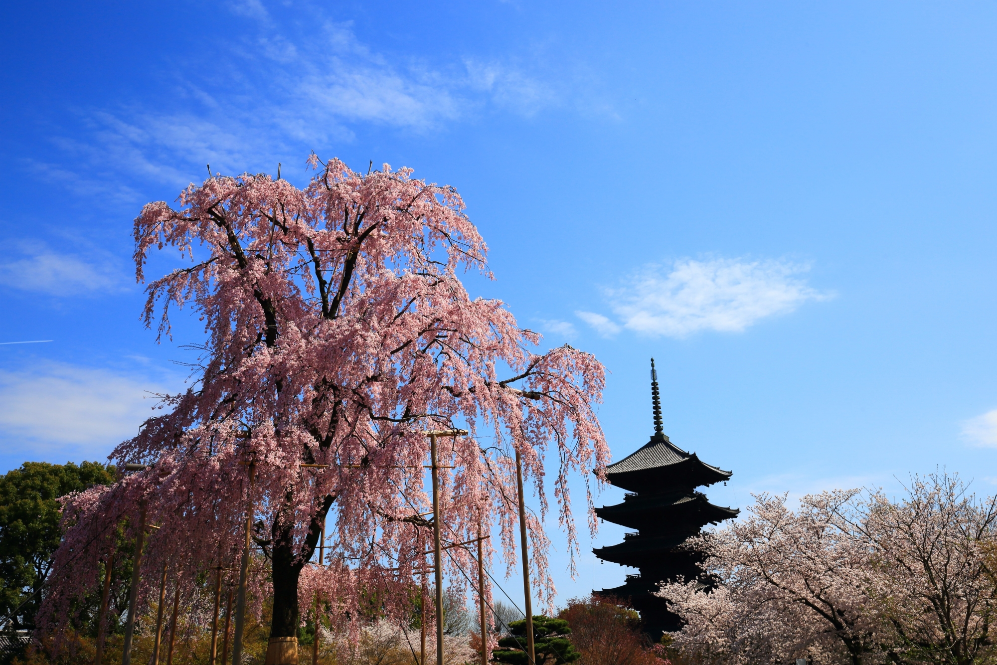 見事な情景の不二桜と五重塔
