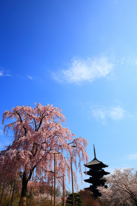 東寺の素晴らしい桜と青空と春の情景