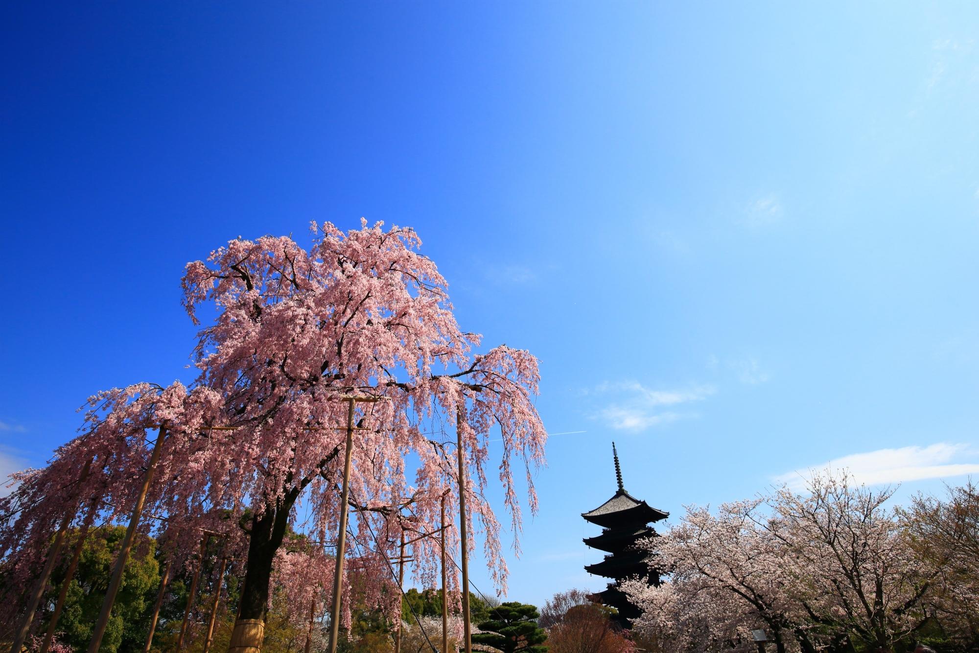 青空に映えるピンクの不二桜と佇む五重塔