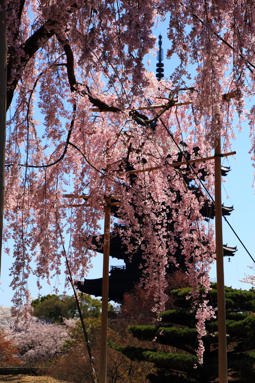 五重塔を春色に染める絶品の不二桜