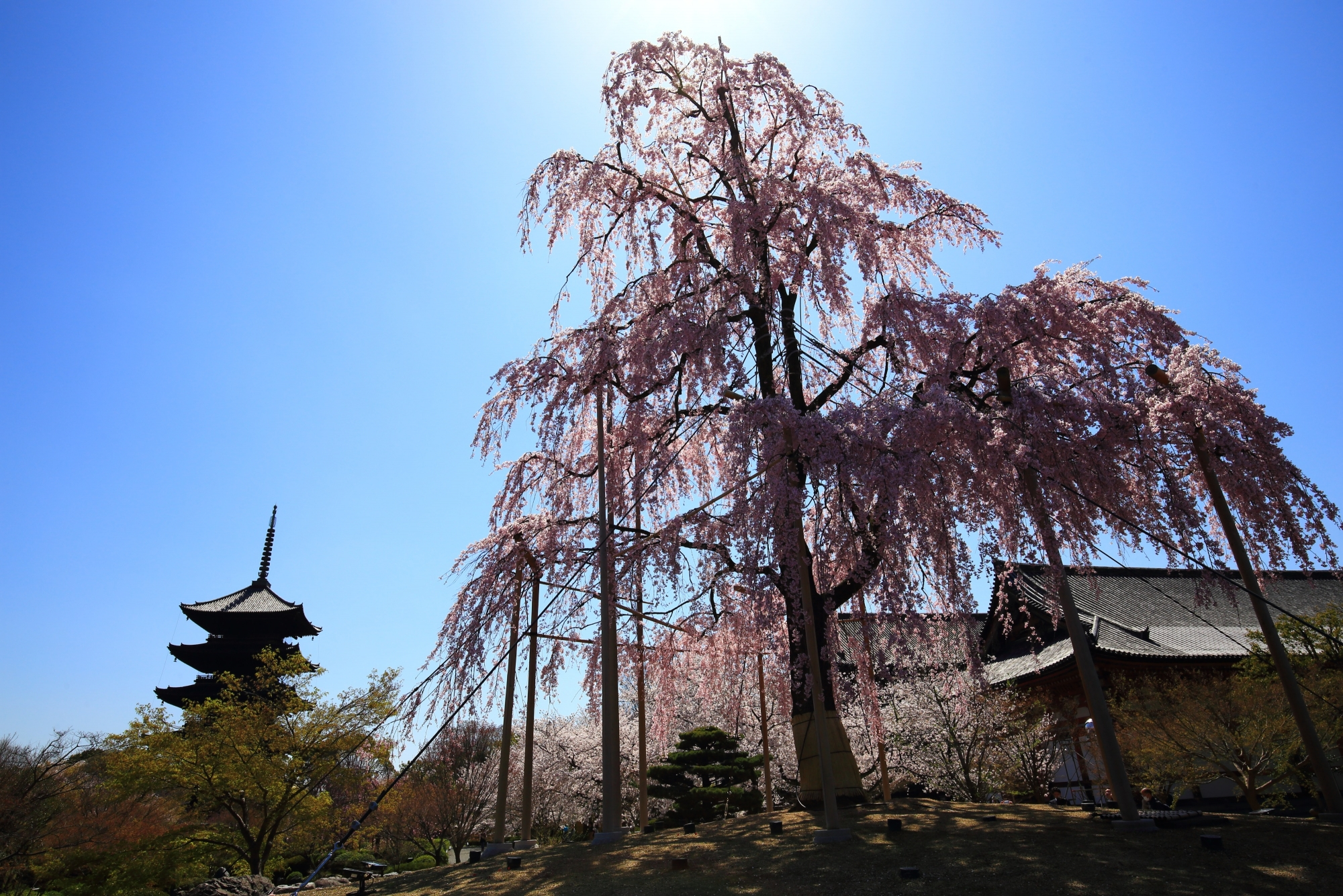 太陽を背景にした五重塔と不二桜のシルエット