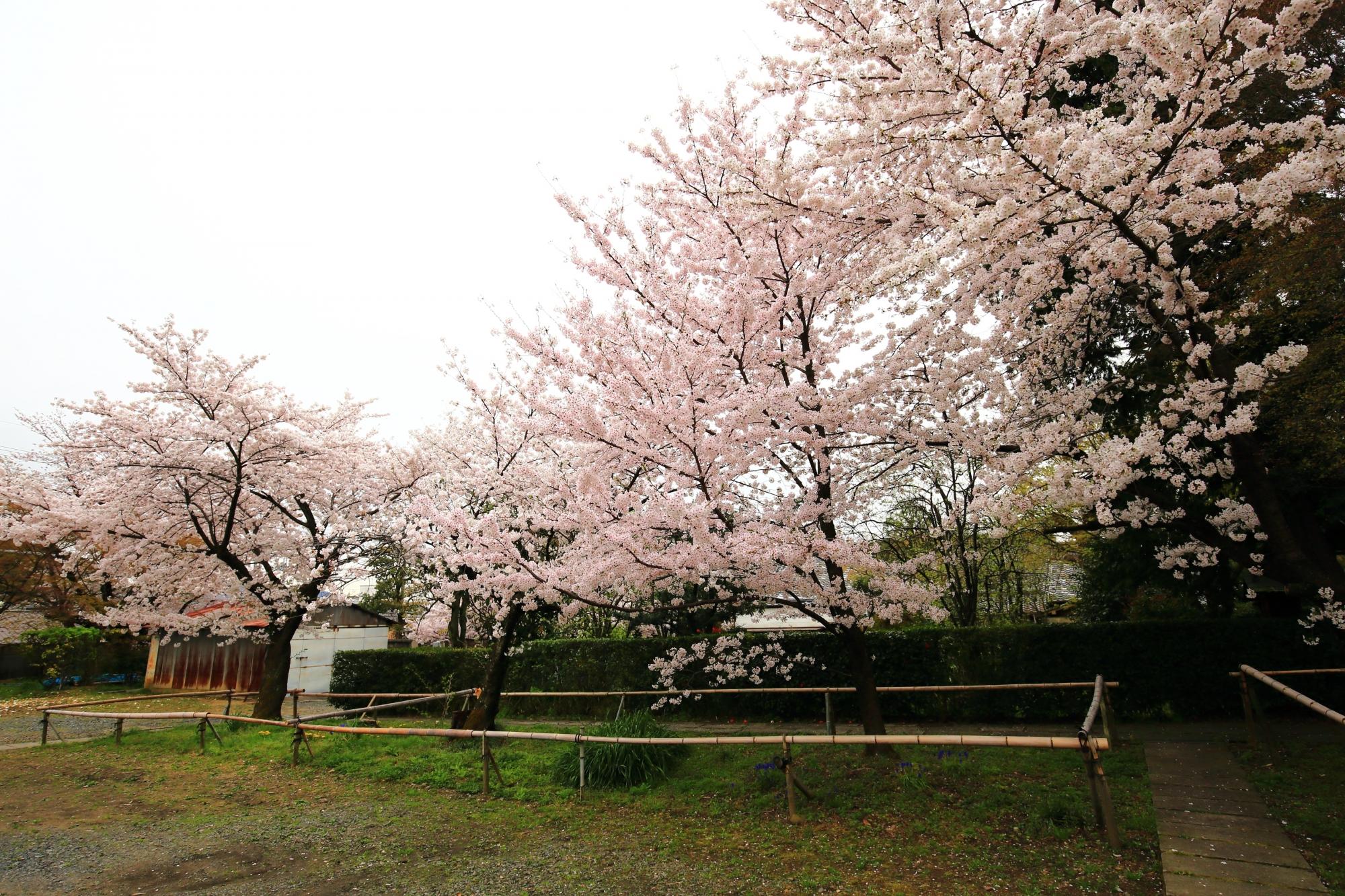 溢れんばかりに咲き誇る桜