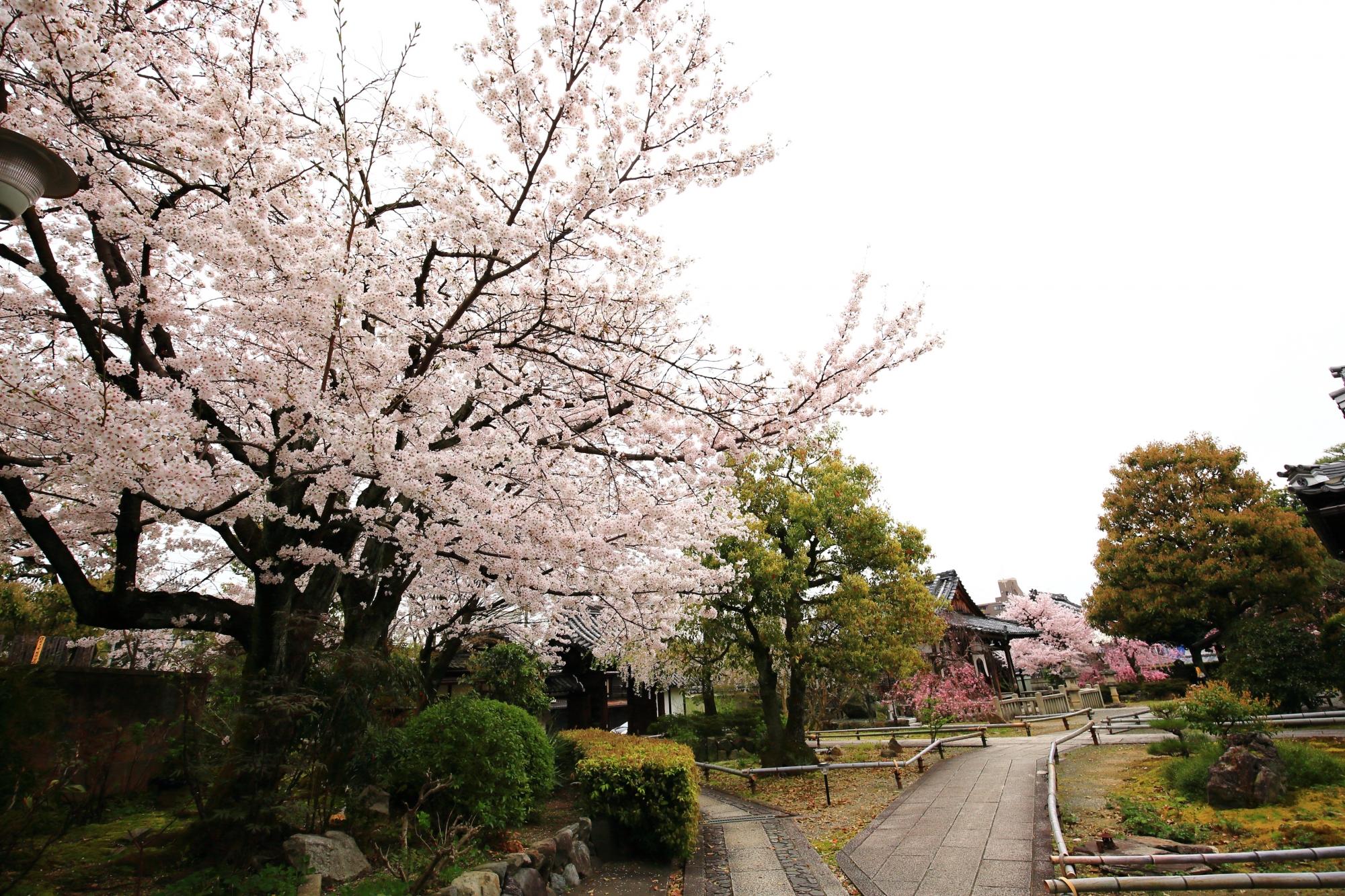 多様な桜が咲く春の上品蓮台寺