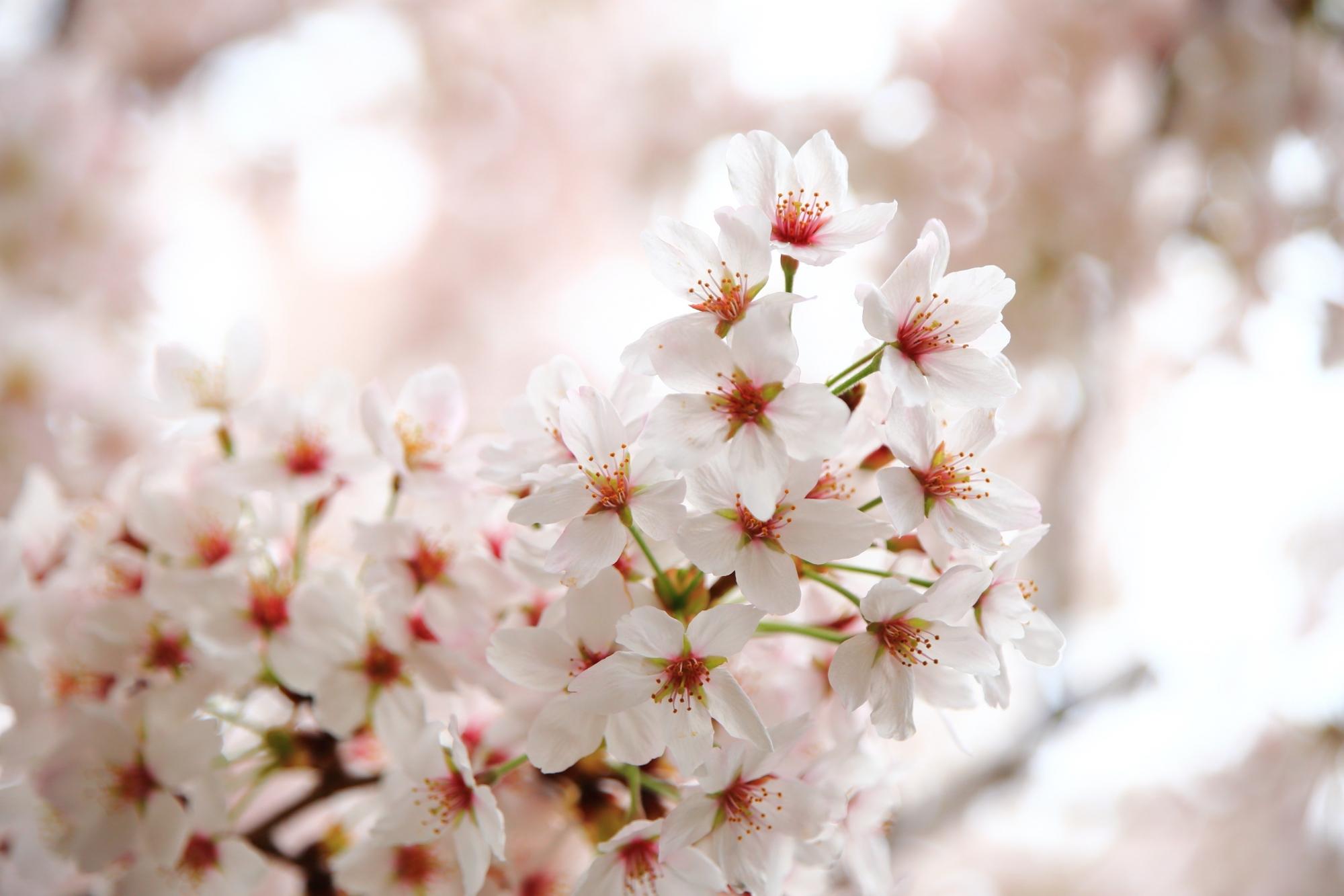 いっぱい花をつけた満開のサクラ