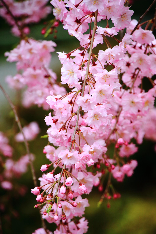 お寺の名前の通り「上品」な桜で溢れる上品蓮台寺(じょうぼんれんだいじ)