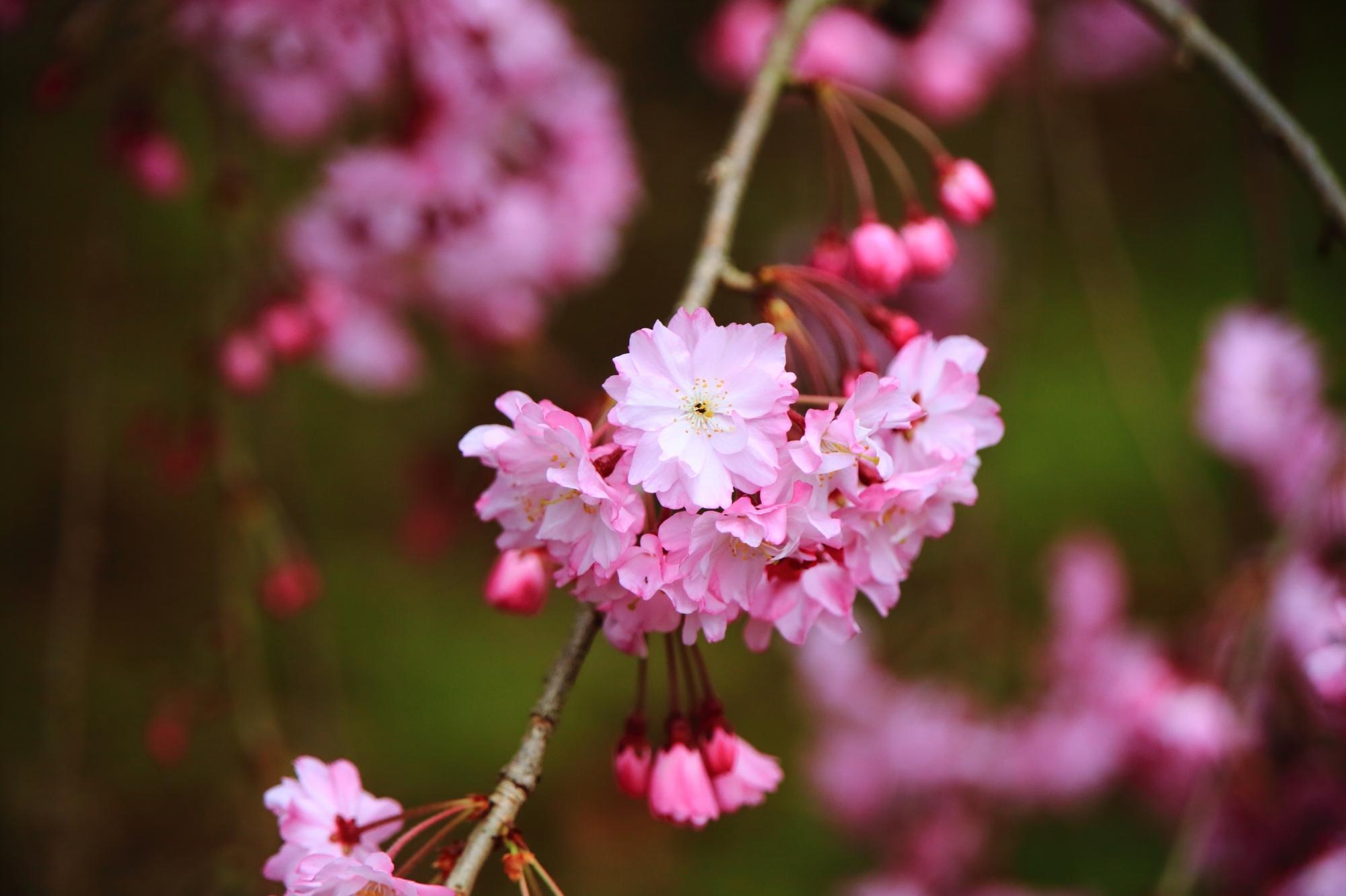 上品蓮台寺の繊細で可憐な花