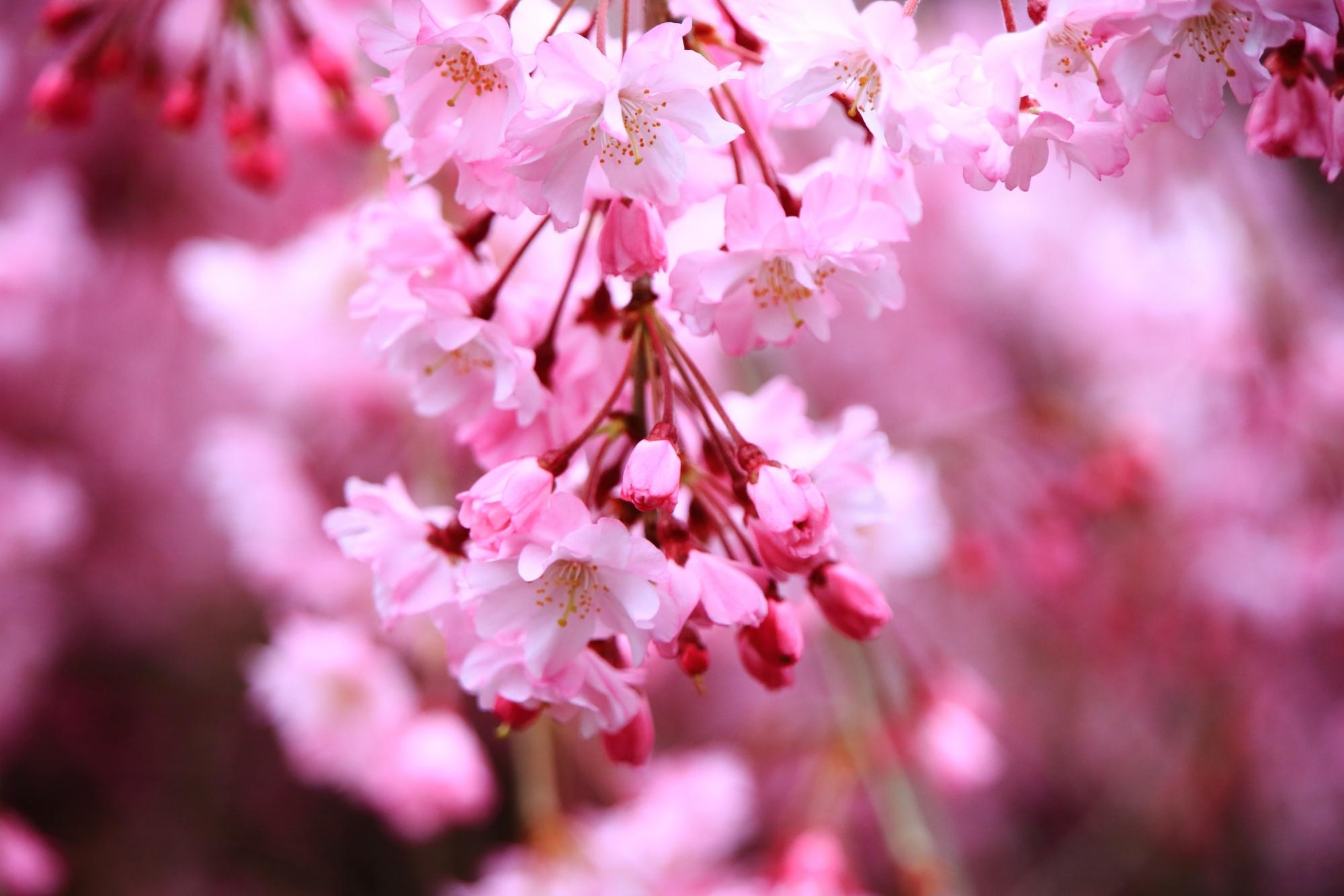 可愛いピンクのしだれ桜の花