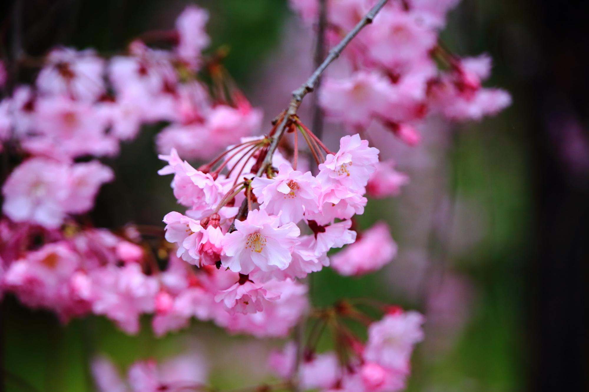 足元でしなやかに揺らぐしだれ桜