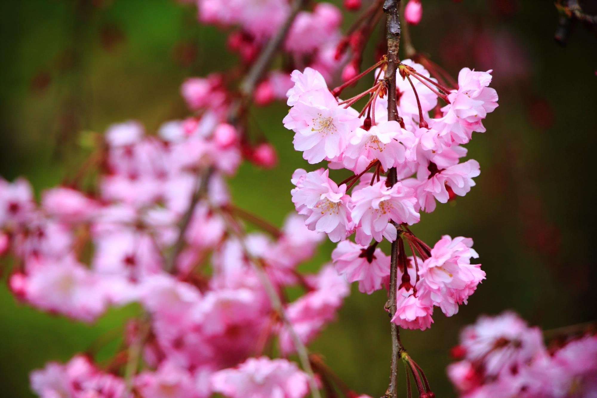 控えめながらも咲き誇る満開の桜