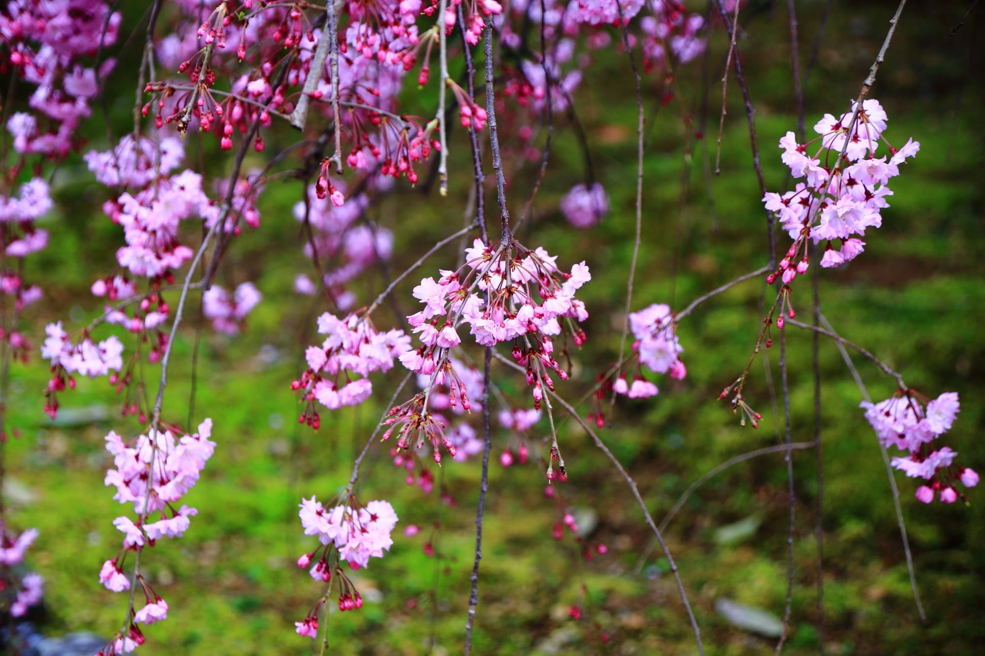 緑の苔を彩る鮮やかなピンクのしだれ桜