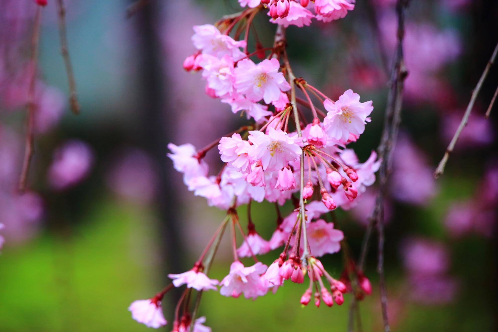 低い位置で咲く可愛らしい桜の花