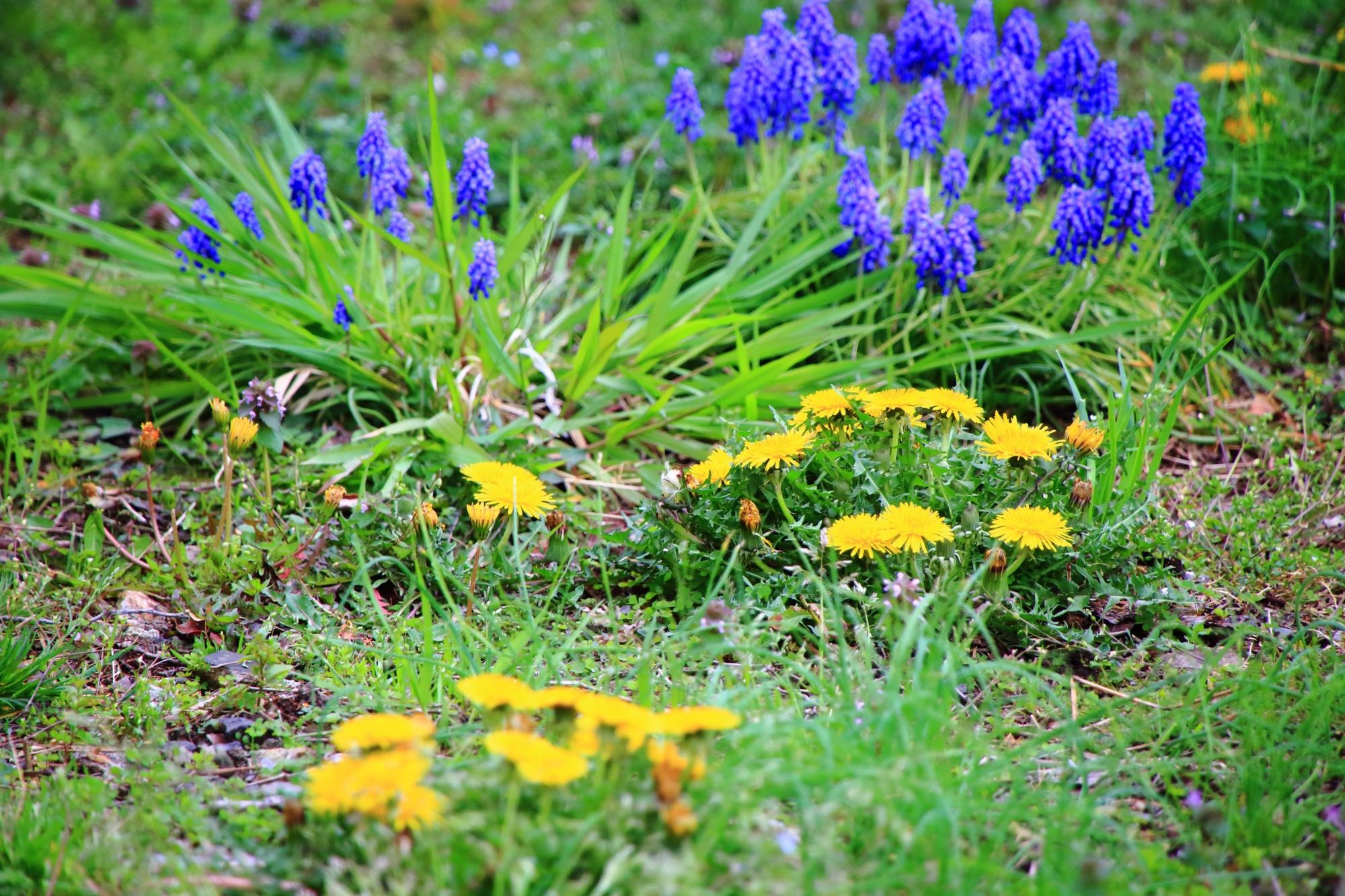色とりどりの春につつまれる境内に咲くタンポポ