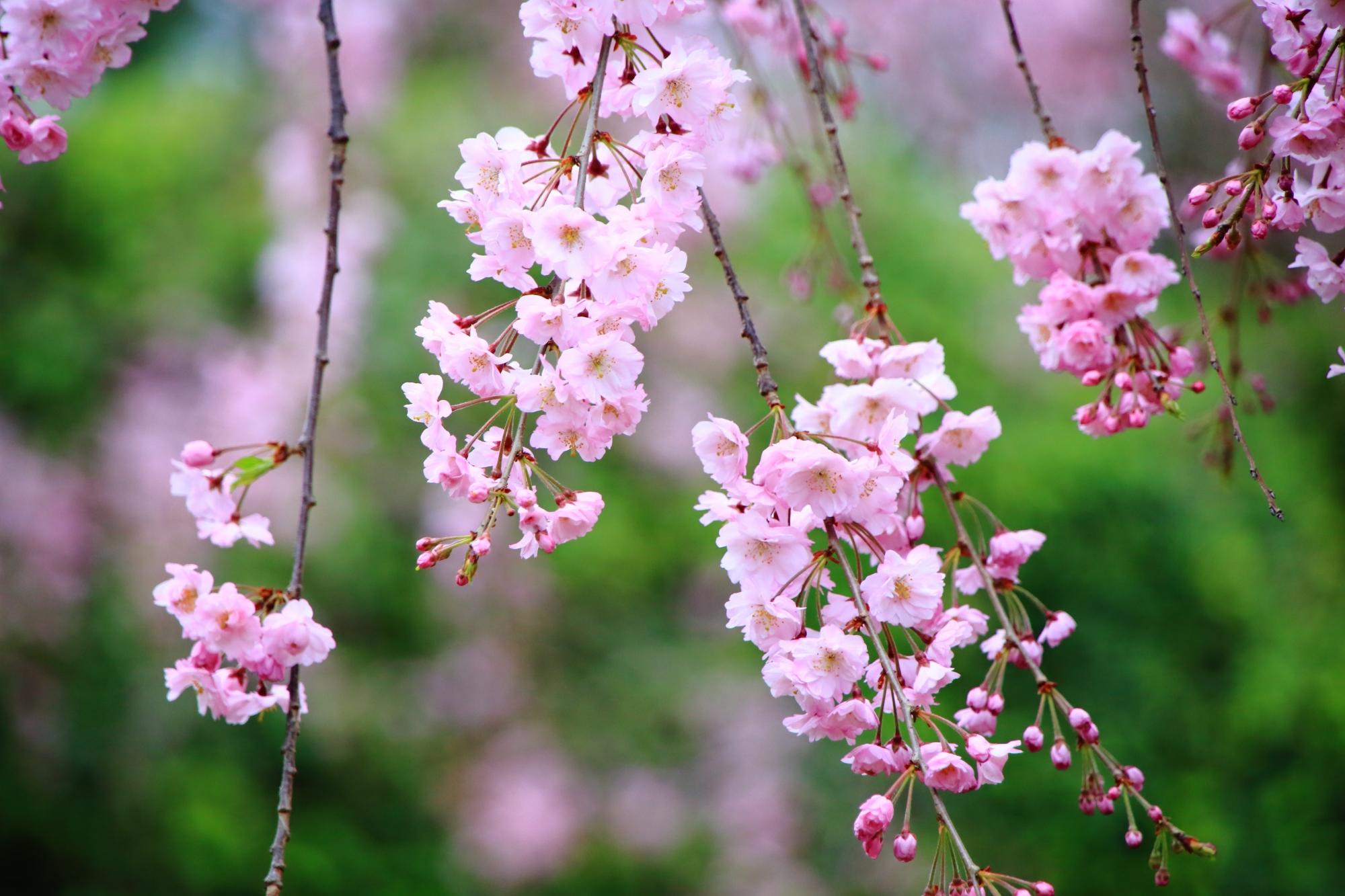 小雨にそよぐ淡いピンクのしだれ桜