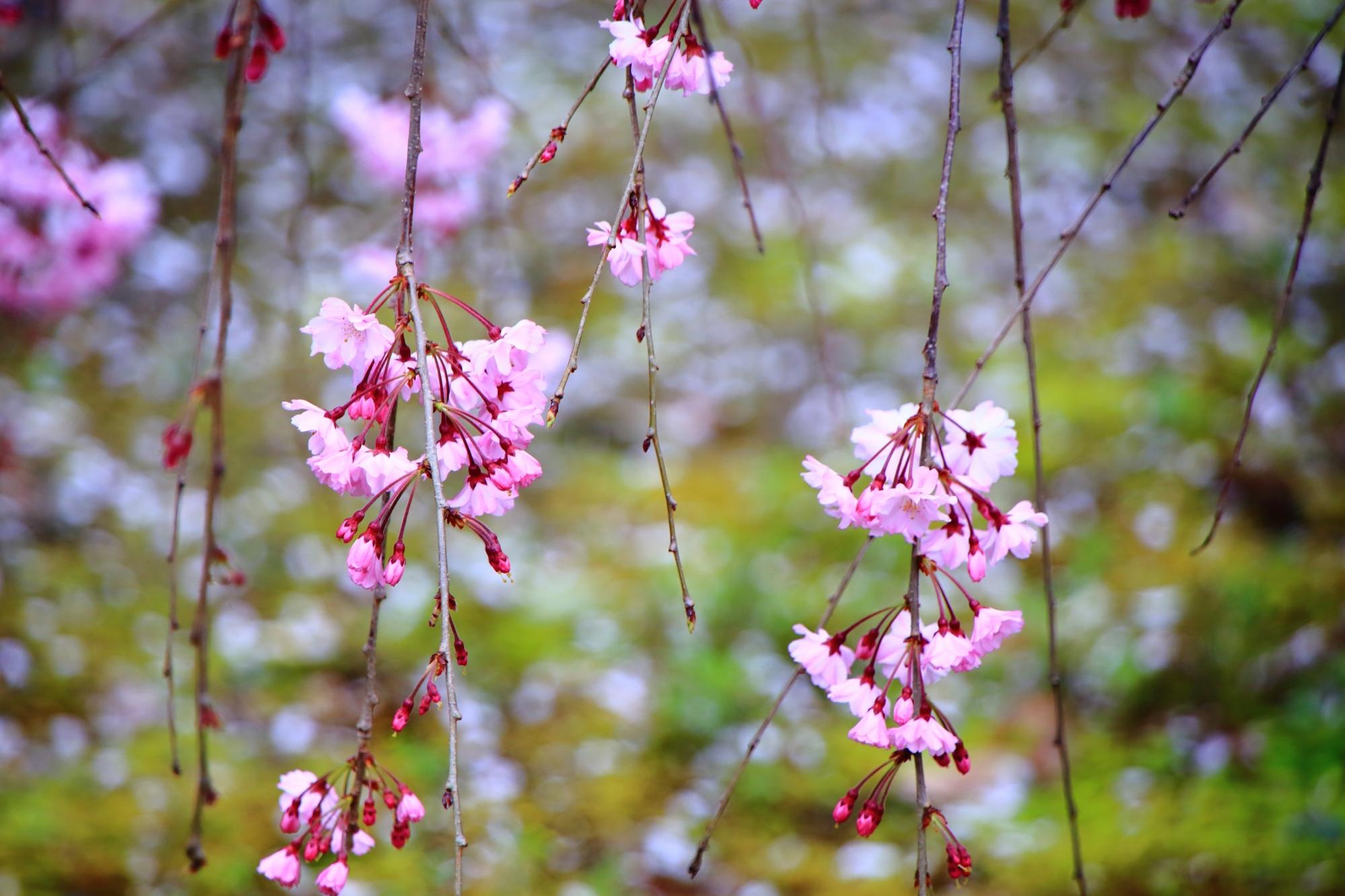 華やかな散り桜を背景にした上品なしだれ桜