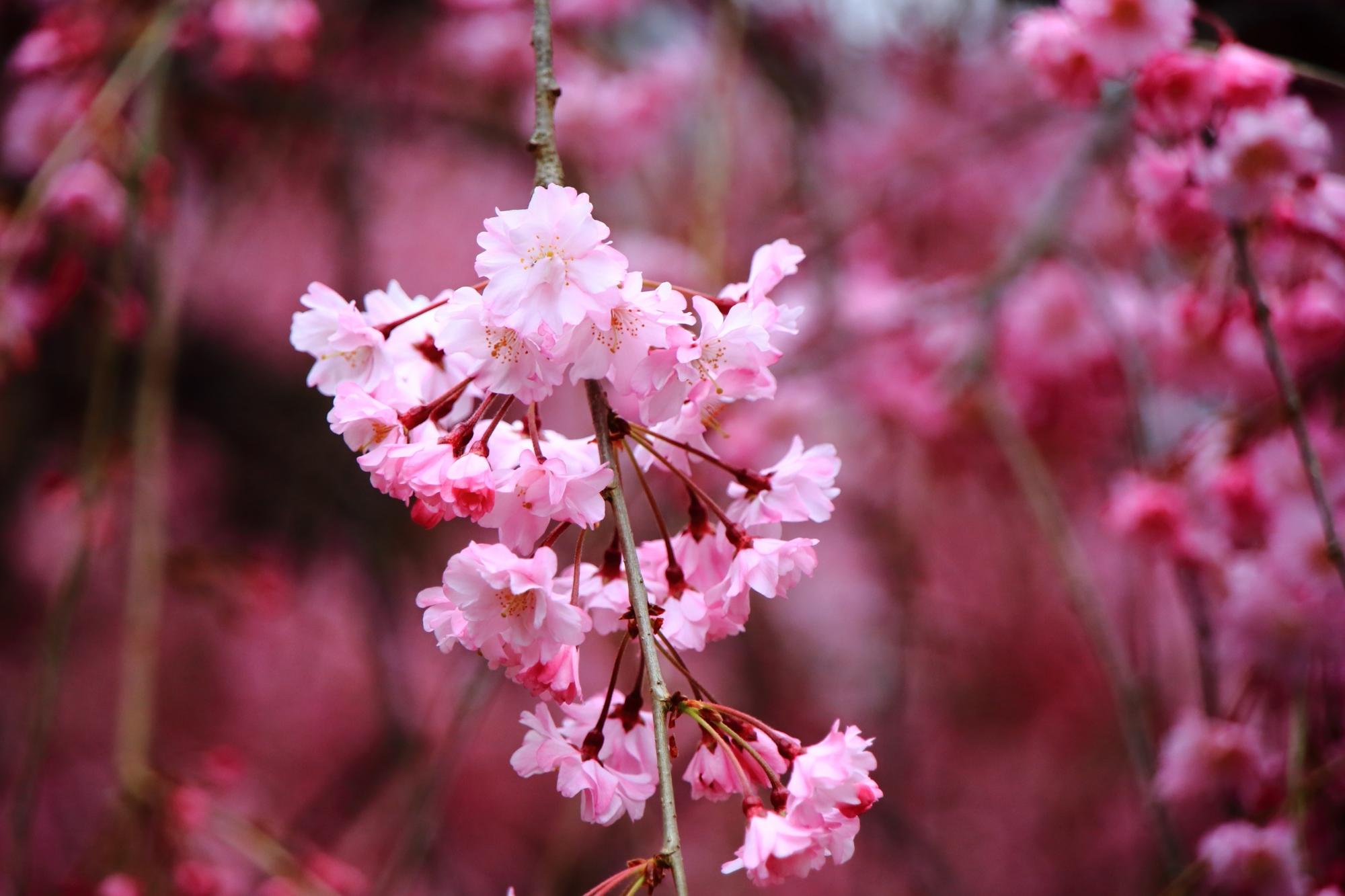見事な春色につつまれる上品蓮台寺