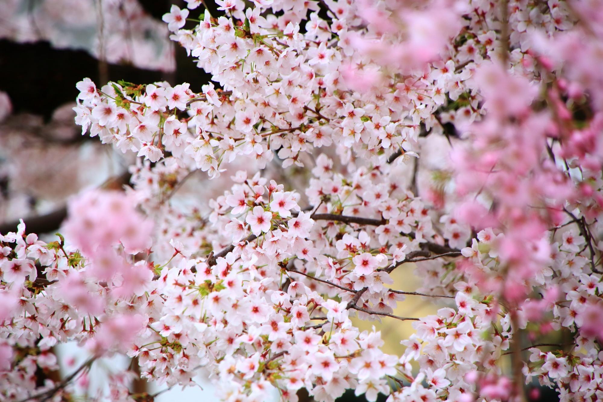 しだれ桜の間から溢れる満開のソメイヨシノ