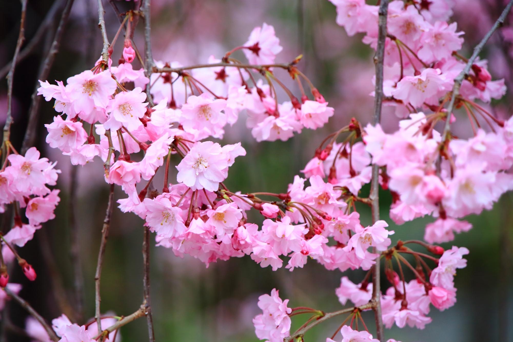 上品蓮台寺の上品な桜と春の情景