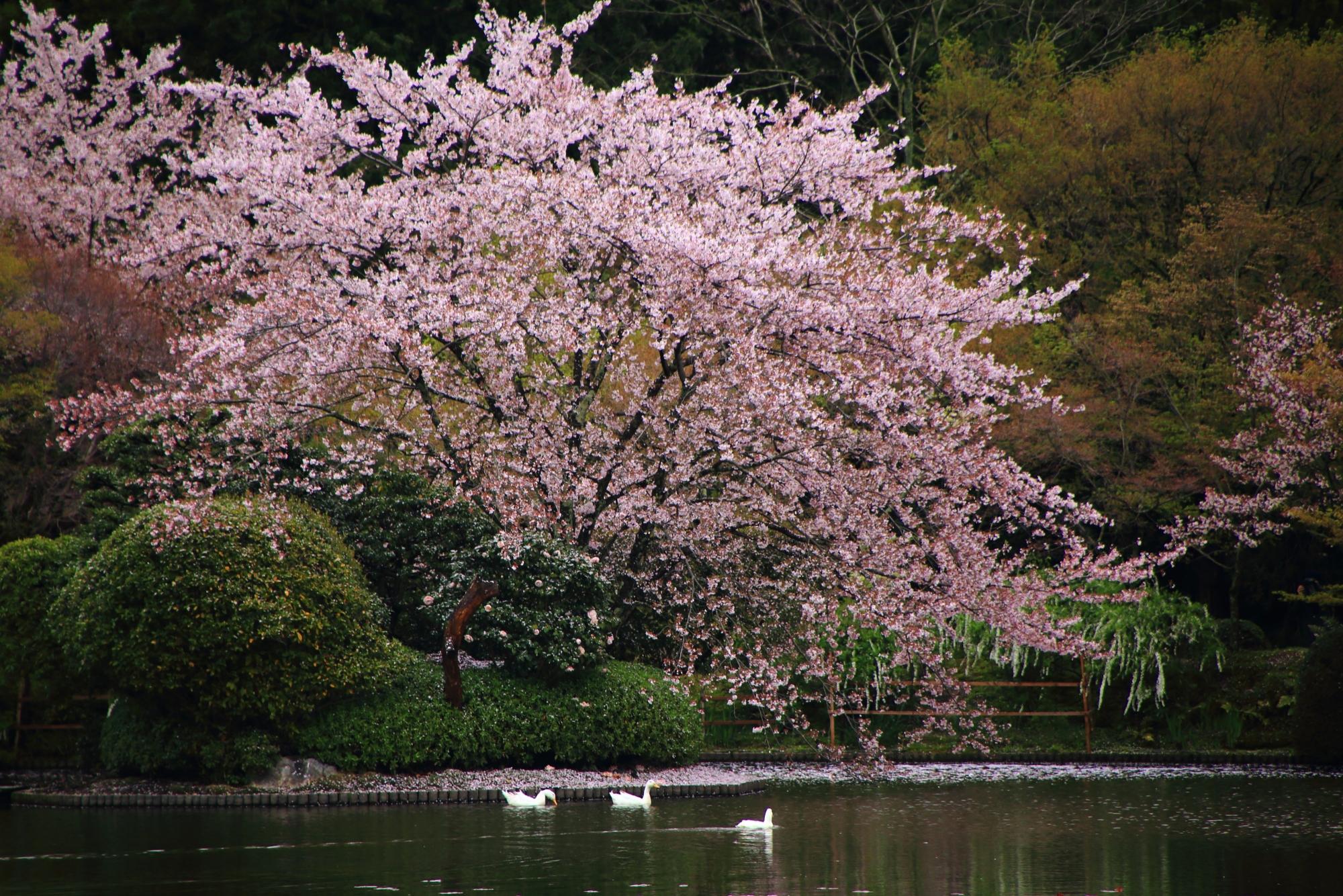 溢れんばかりに咲き誇る桜とアヒルさん