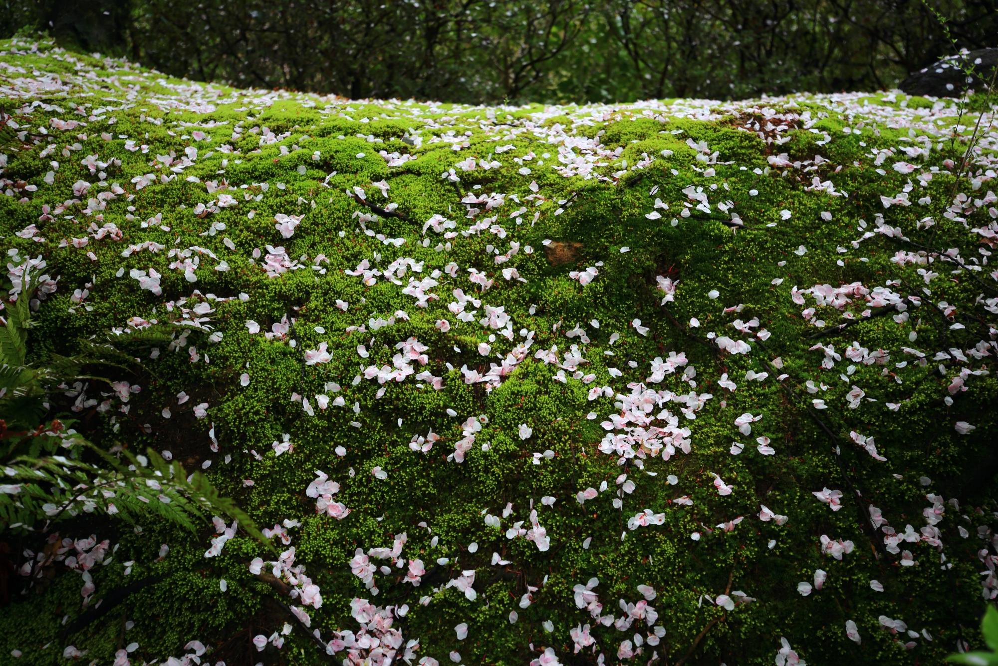 緑の苔に散った華やかな桜の花びら