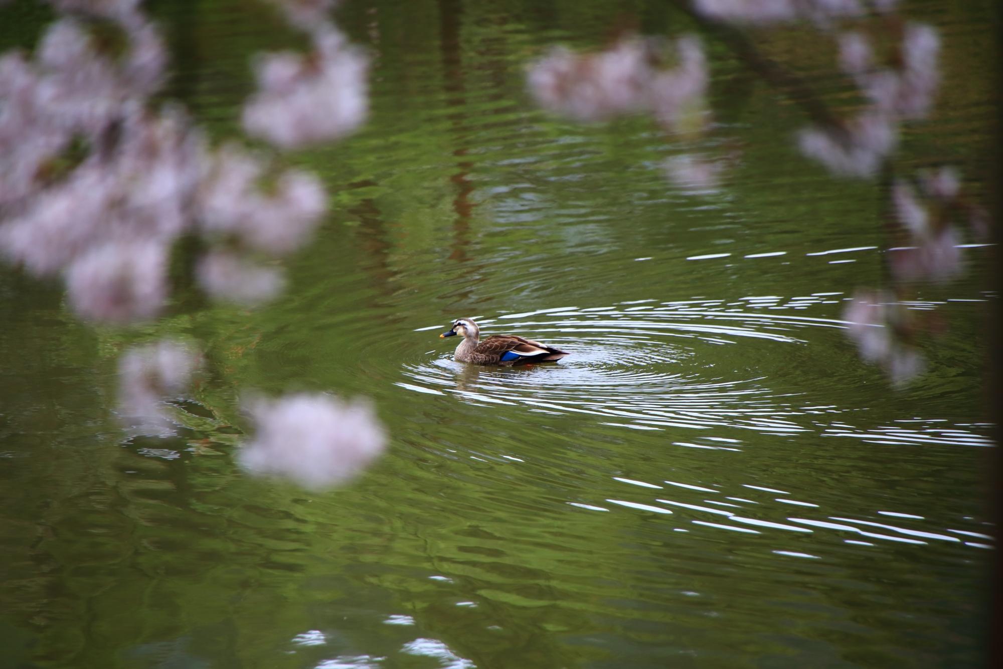 桜の鏡容池を優雅に泳ぐ鴨