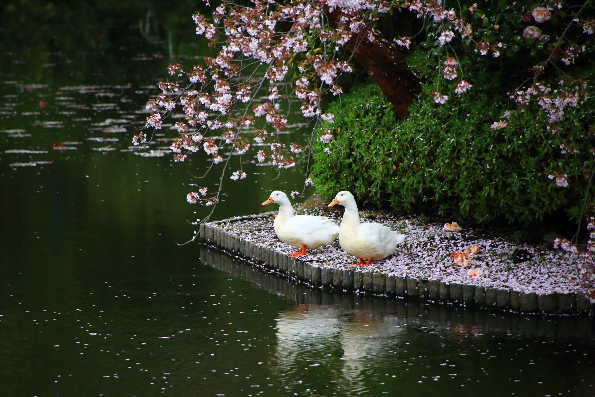 春色にそまった鏡容池で長閑にくつろぐアヒル