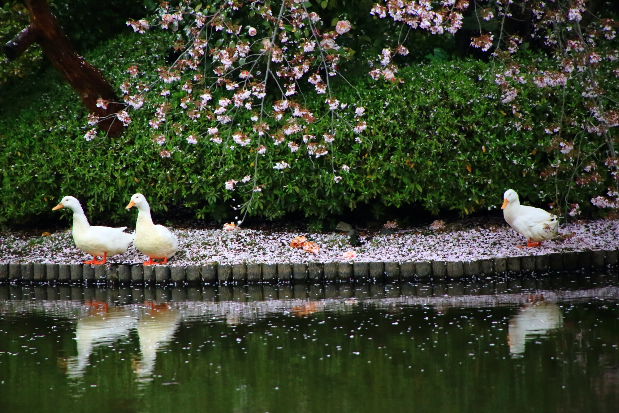 龍安寺の散り桜の上で戯れるアヒル