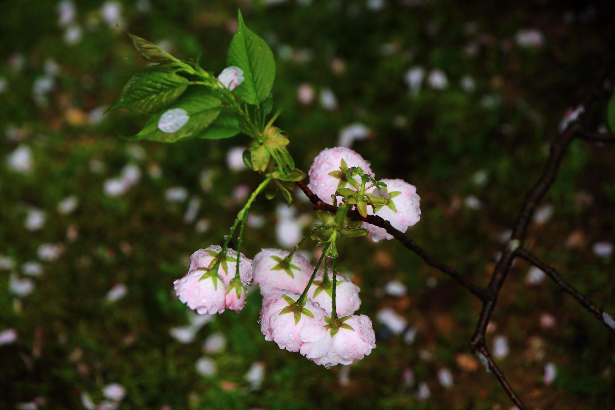 桜の花びらが散る桜