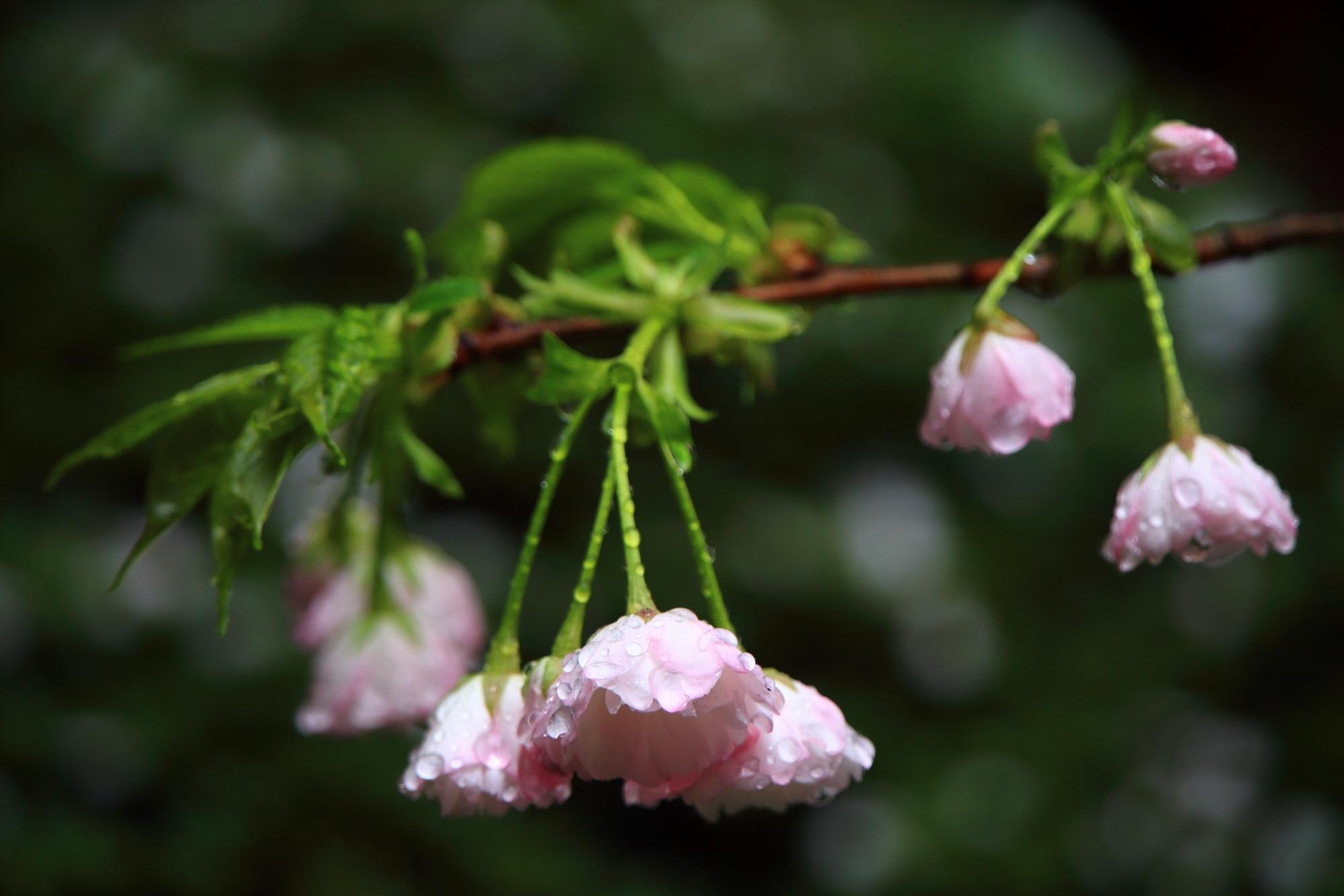 龍安寺の雨水の滴る風情ある桜