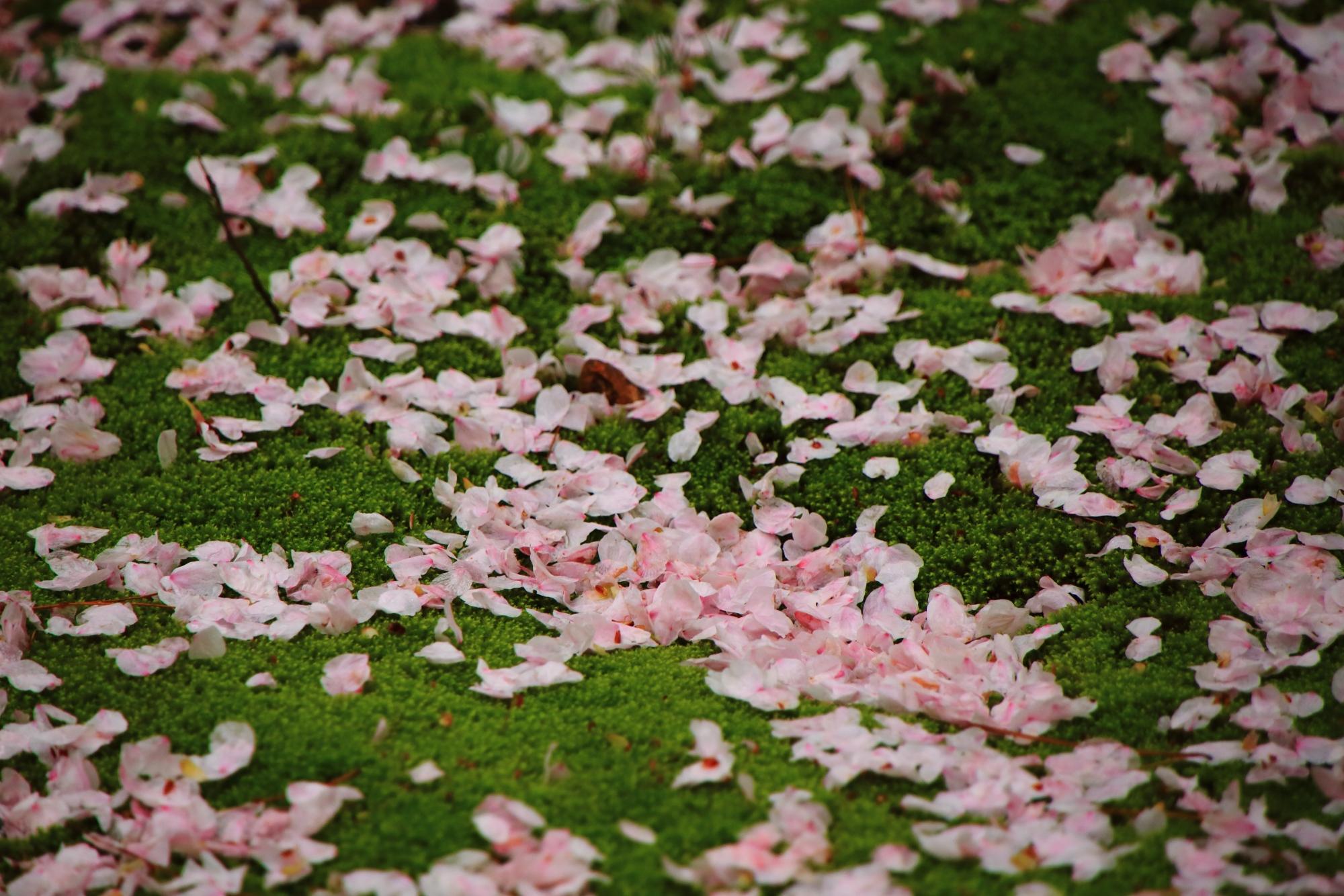 緑の苔を春色に彩るピンクの花びら