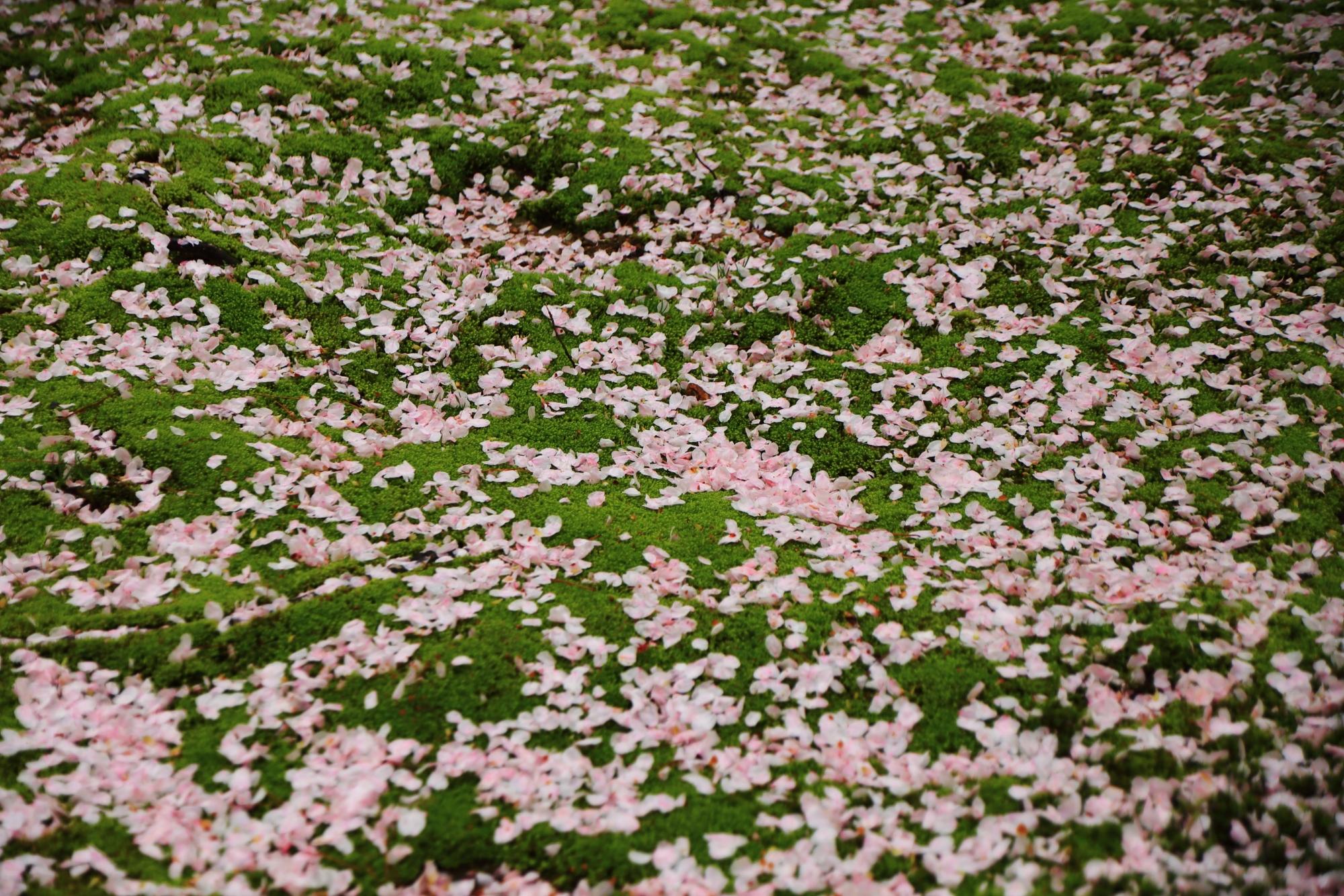 龍安寺の桜苑の散り桜